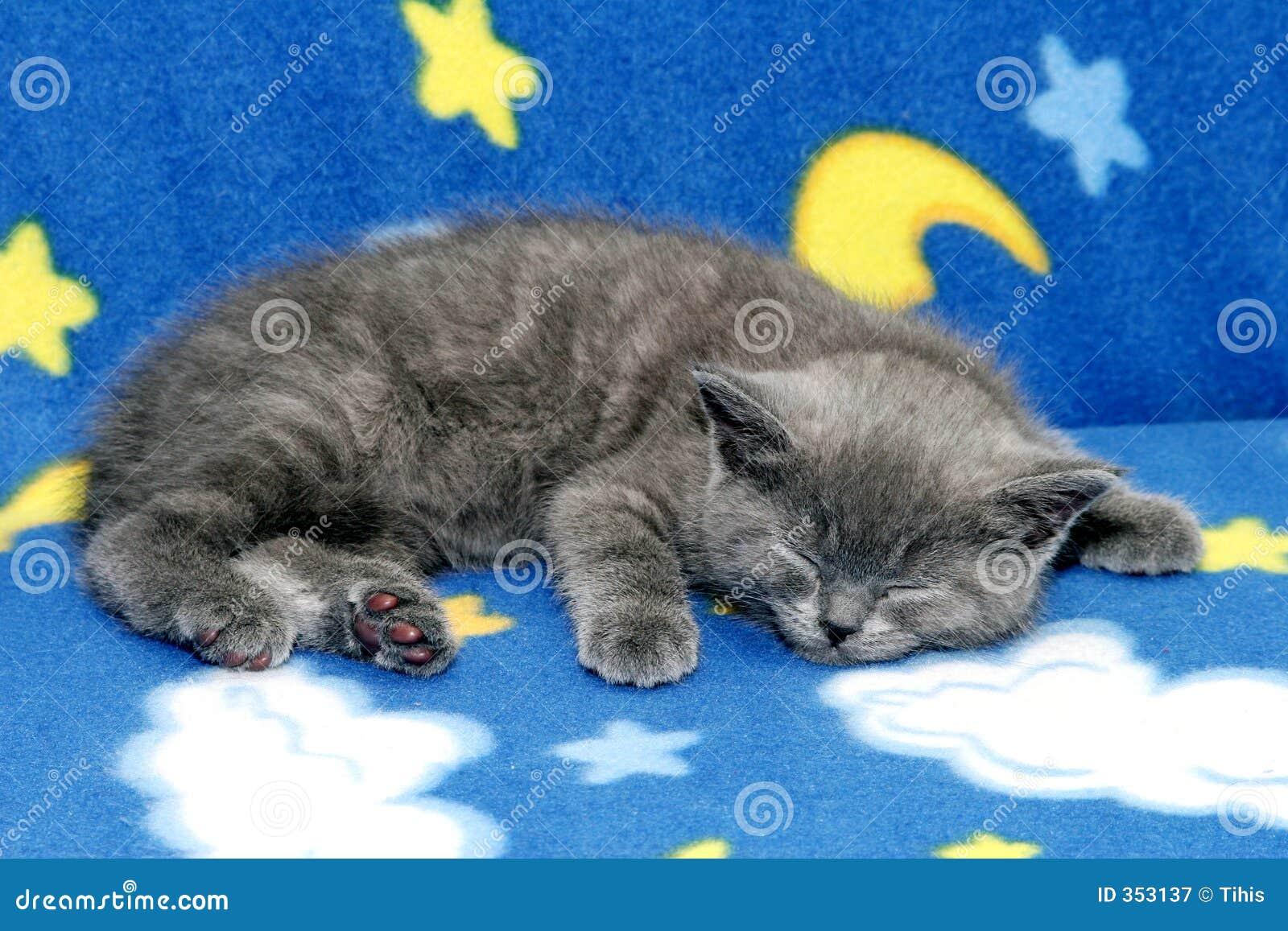 Britisches blaues Kätzchen