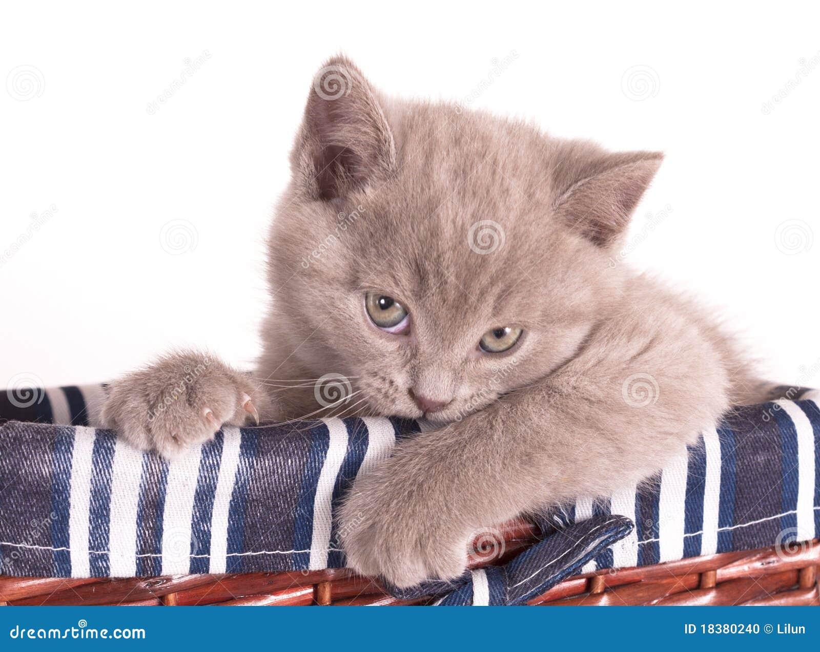 Britisches Kätzchen