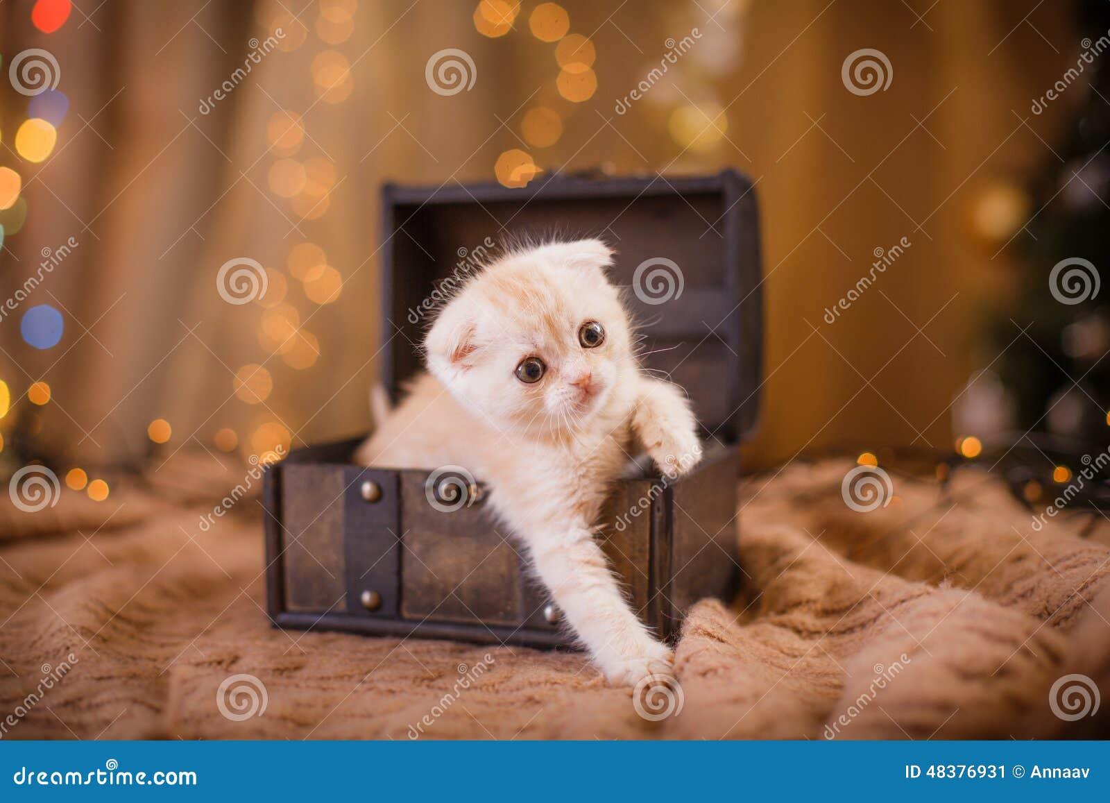 Britisches Kätzchen, Weihnachten Und Neues Jahr Stockbild - Bild von ...