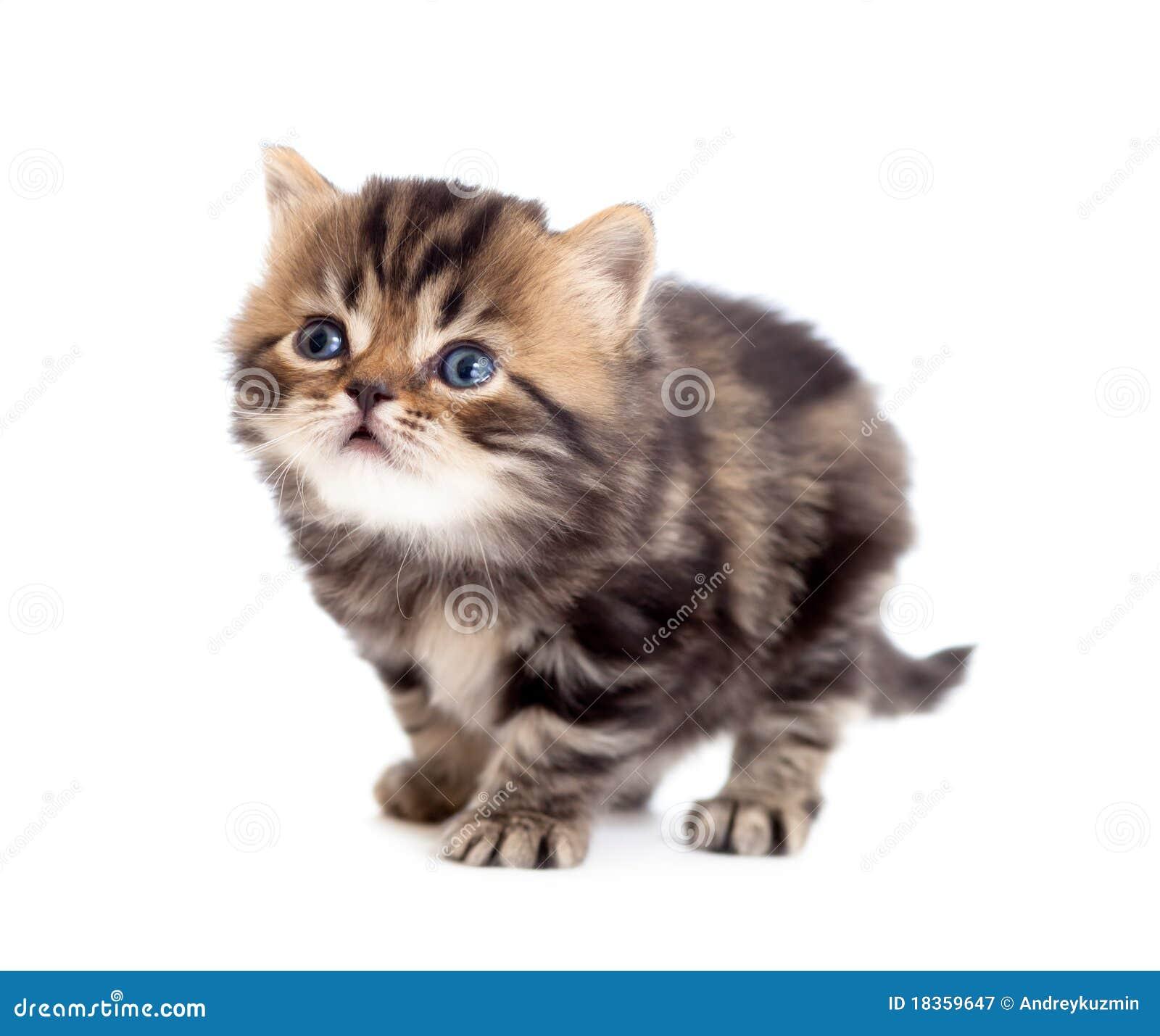 Britisches kleines Kätzchen des Tabby, das oben getrennt schaut