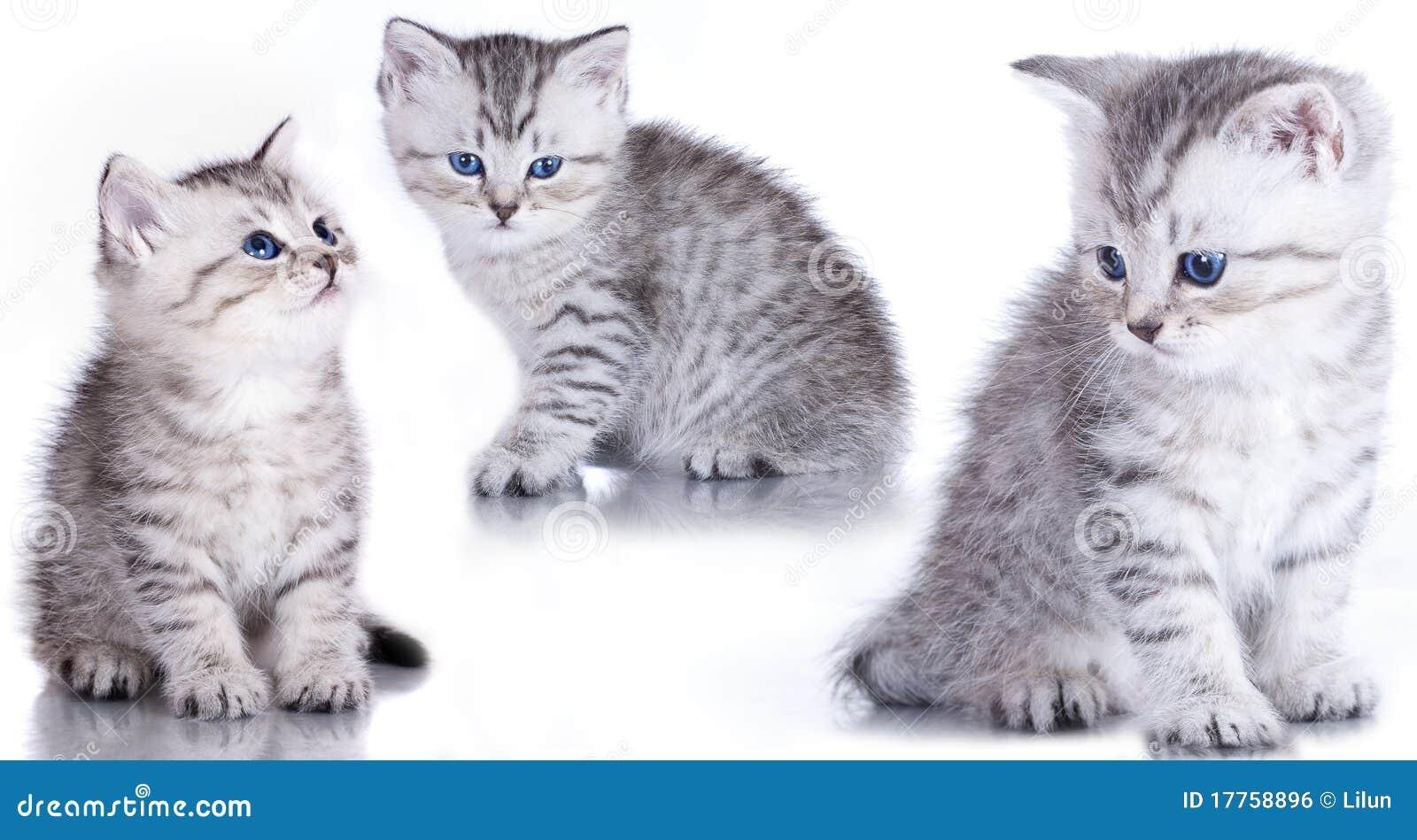 British закрывают purebred котенка вверх