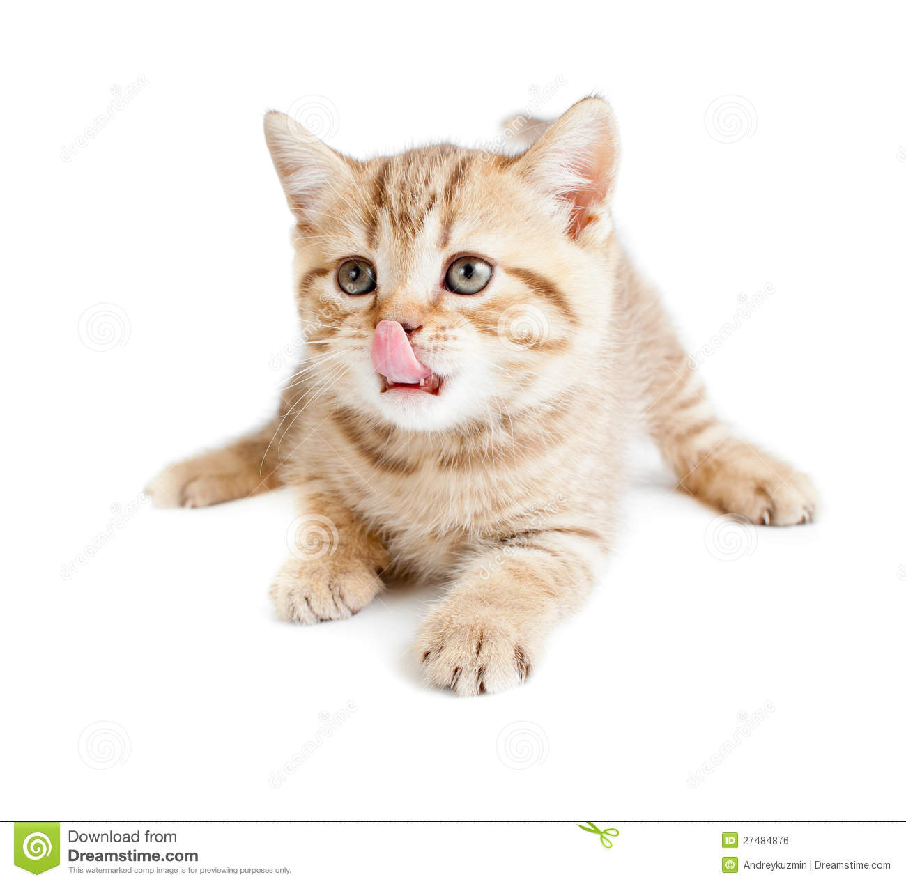 British Baby Cat Lying And Licking Nose Royalty Free Stock