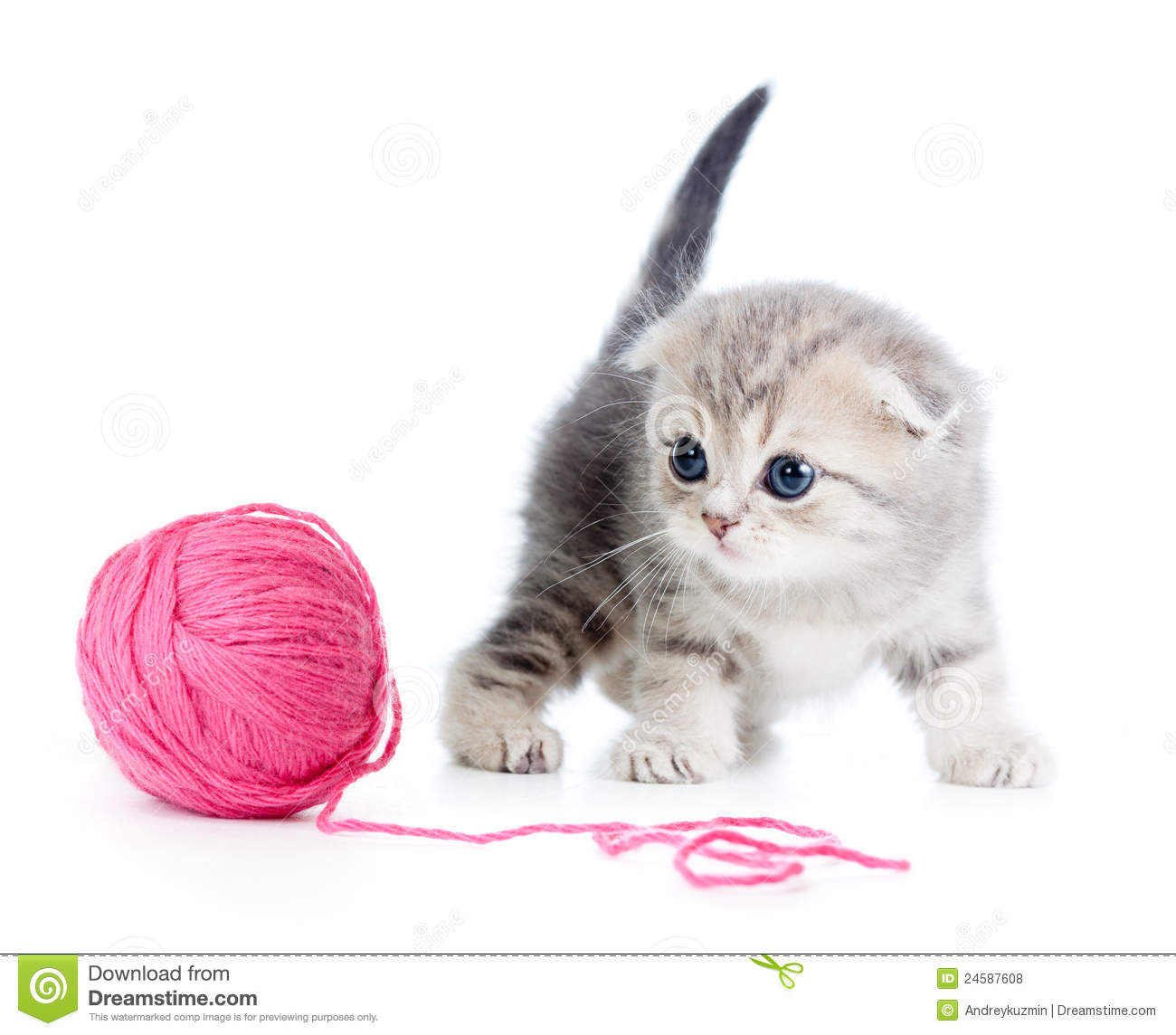 British Baby Cat Playing Red Clew Or Ball Royalty Free Stock Photos ...