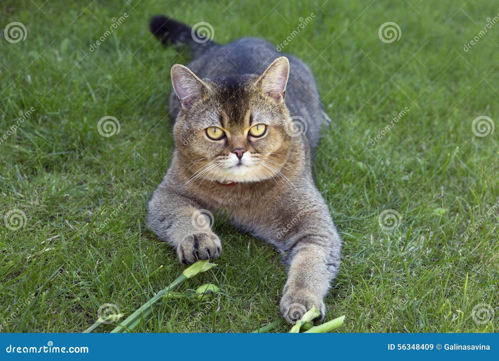 Gold Chinchilla (cat). Breed of cats of chinchilla