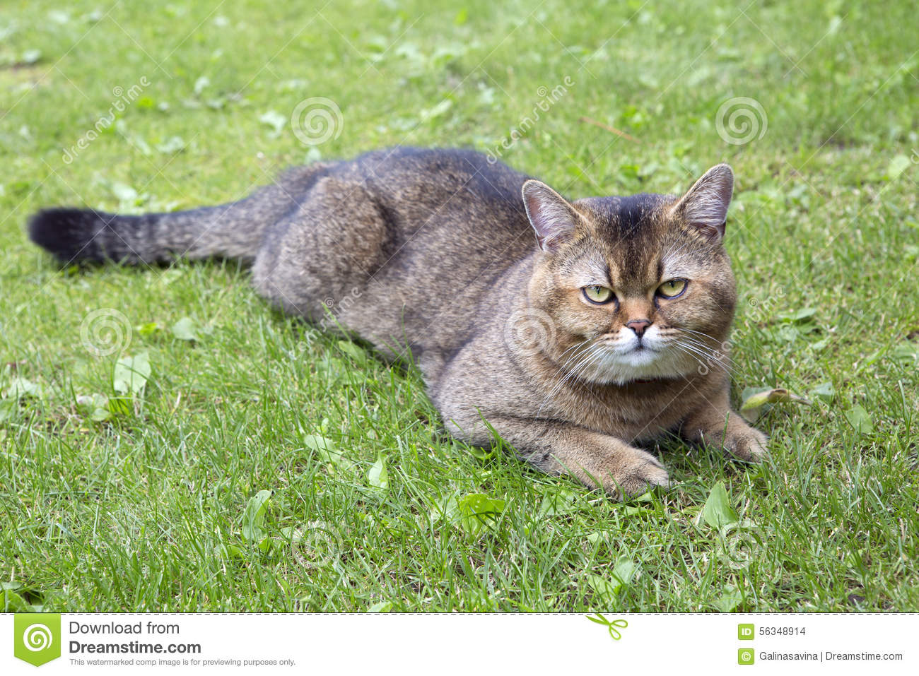 Golden Chinchilla cat: description of the breed, character, characteristics of care and maintenance 100