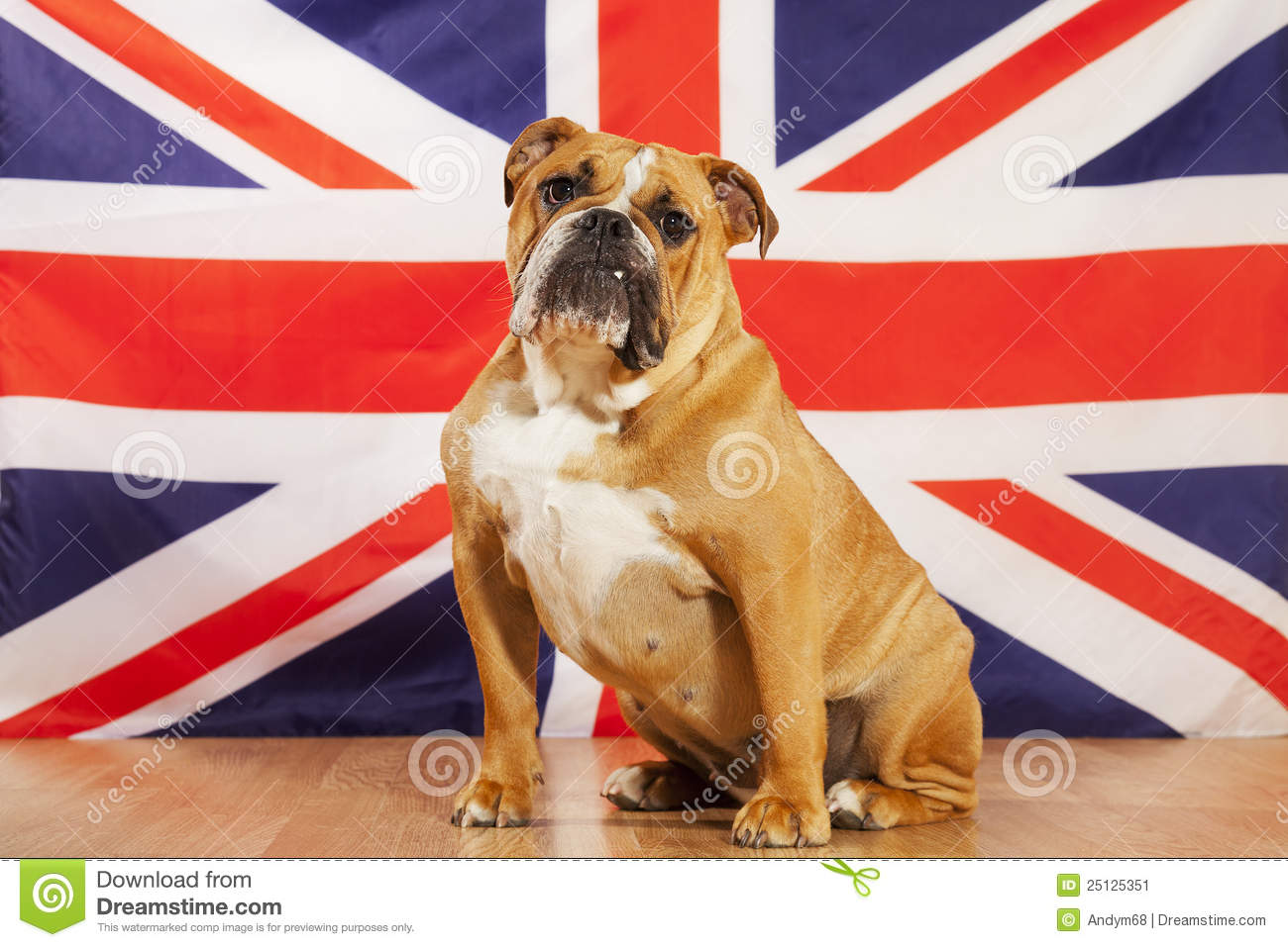 British Bulldog Stock Image Image 25125351