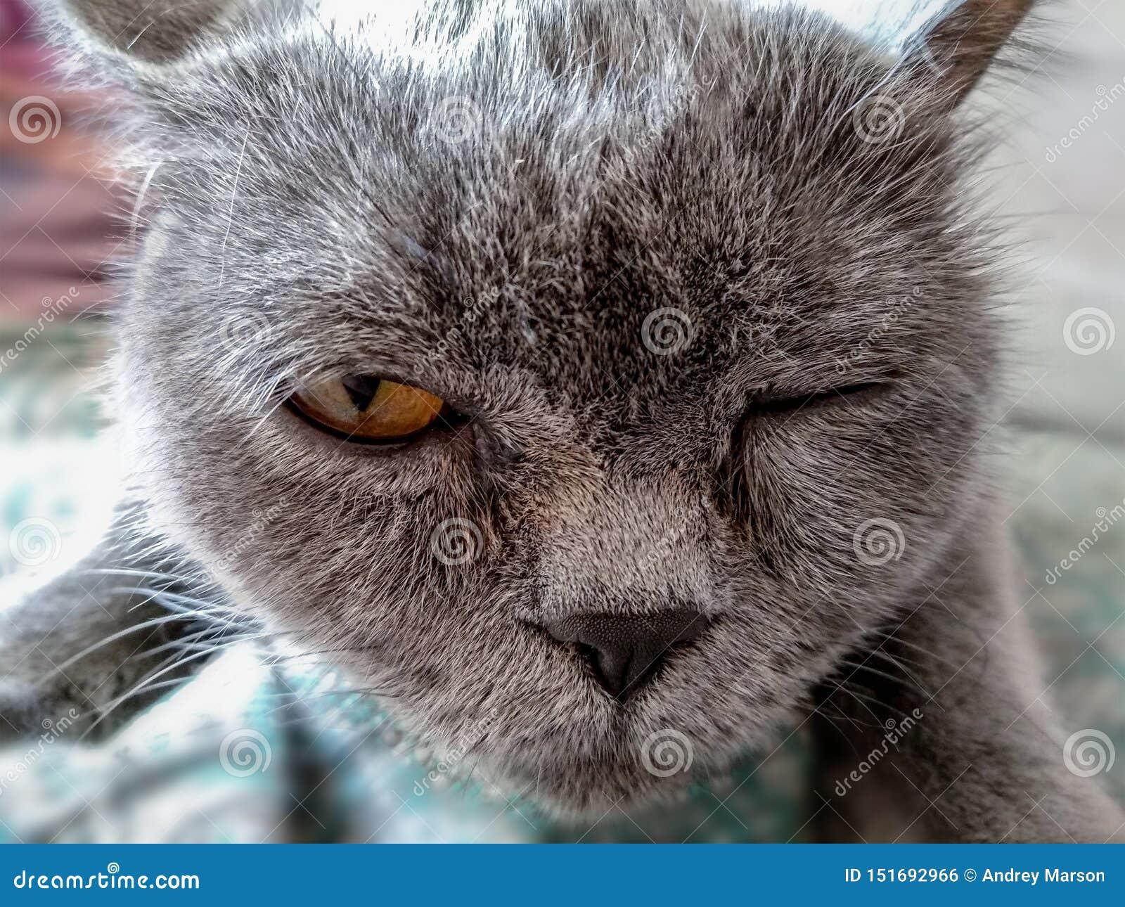 British cat that blinks with pleasure