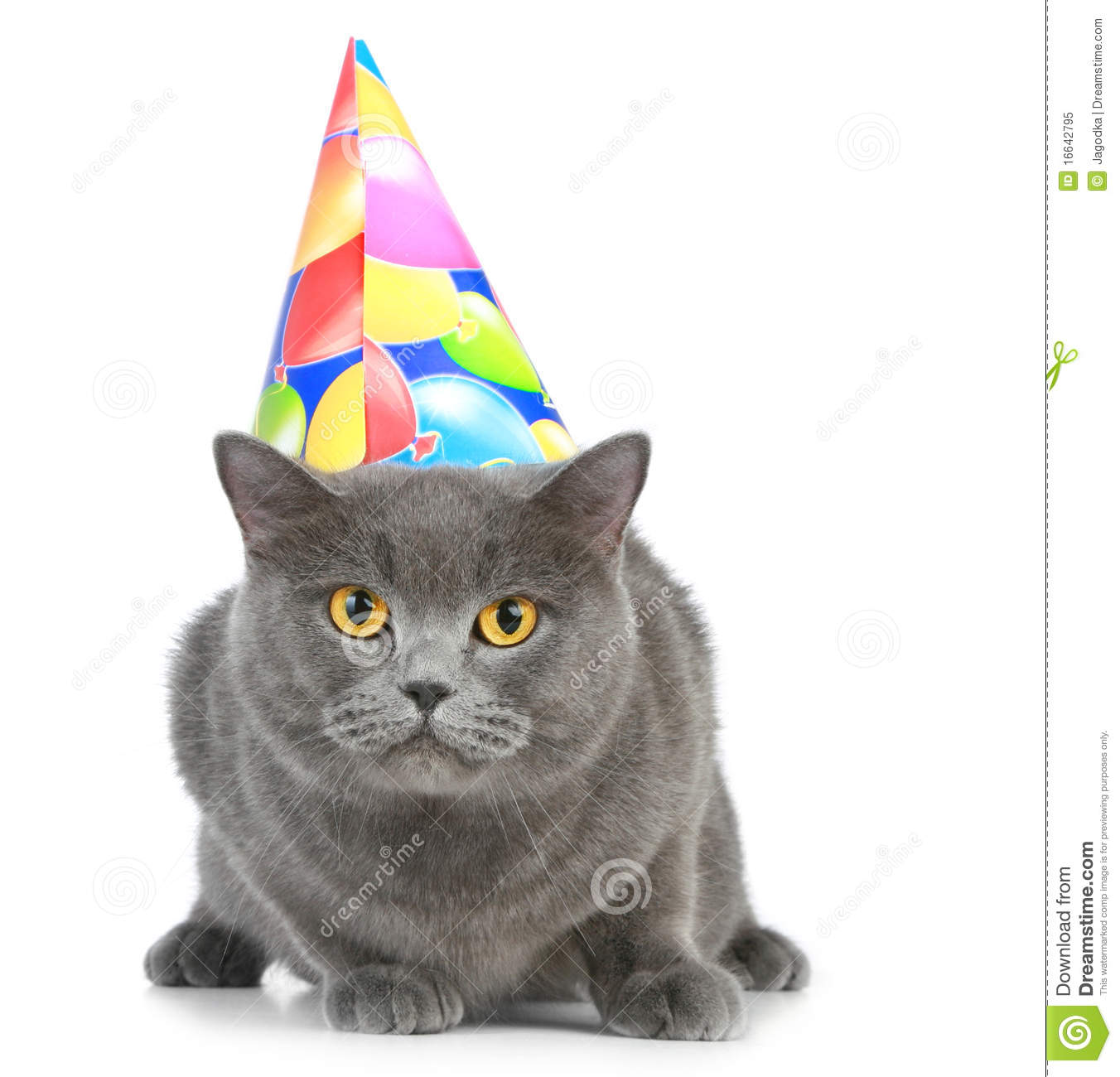 British Cat With Party Hat