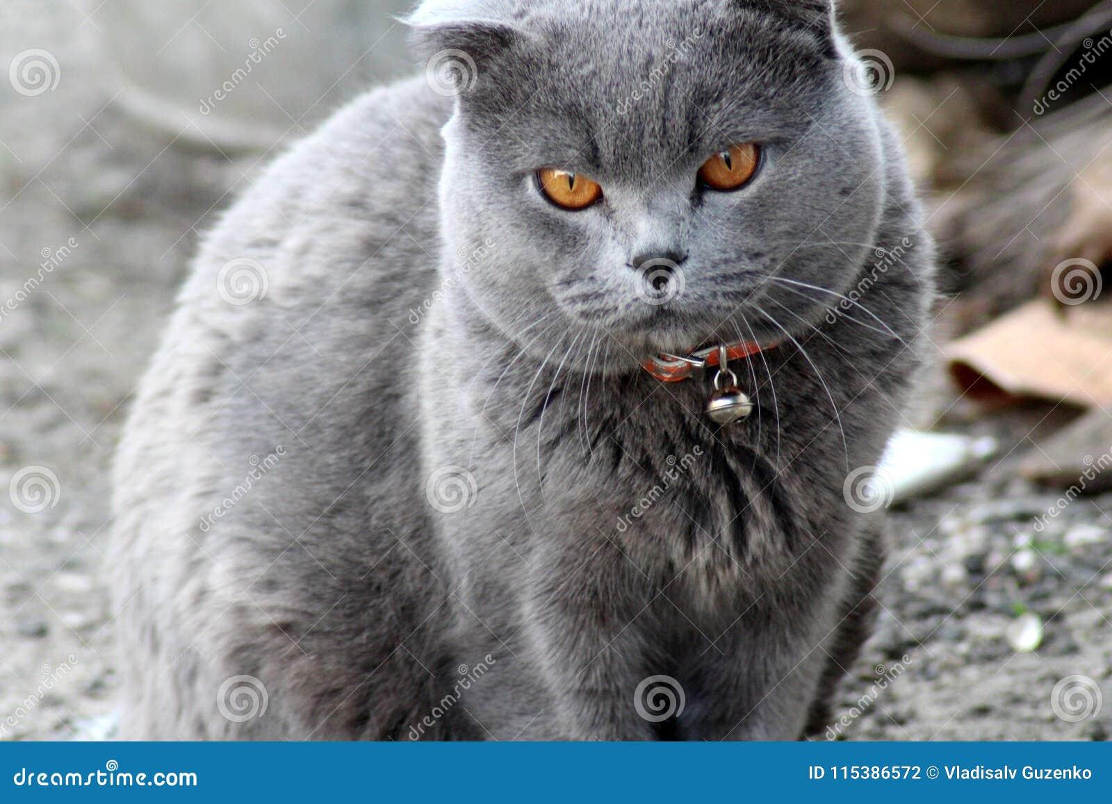 British cat in a red collar