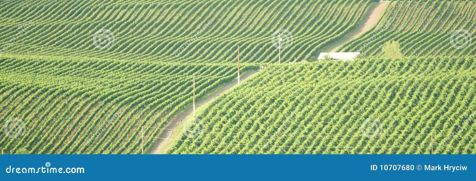 Download British Columbia Vineyard Okanagan Stock Photo - Image of vineyard, green: 10707680
