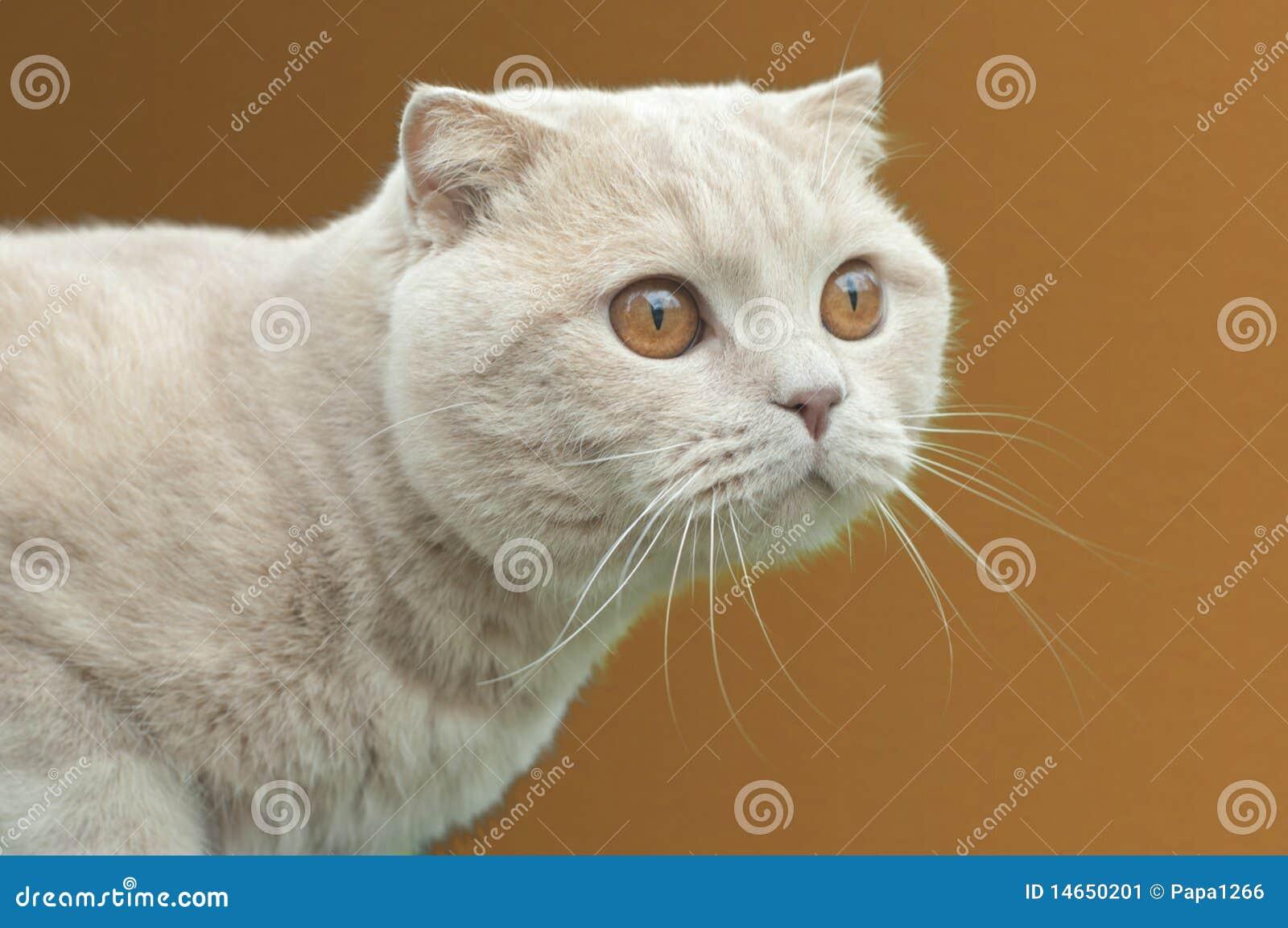 himalayan cats kittens