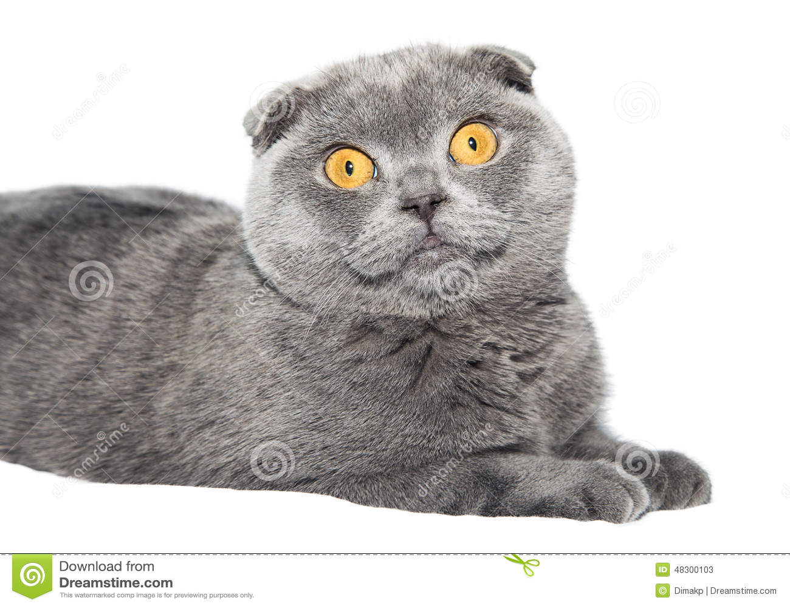 British Fold Cat Stock Image