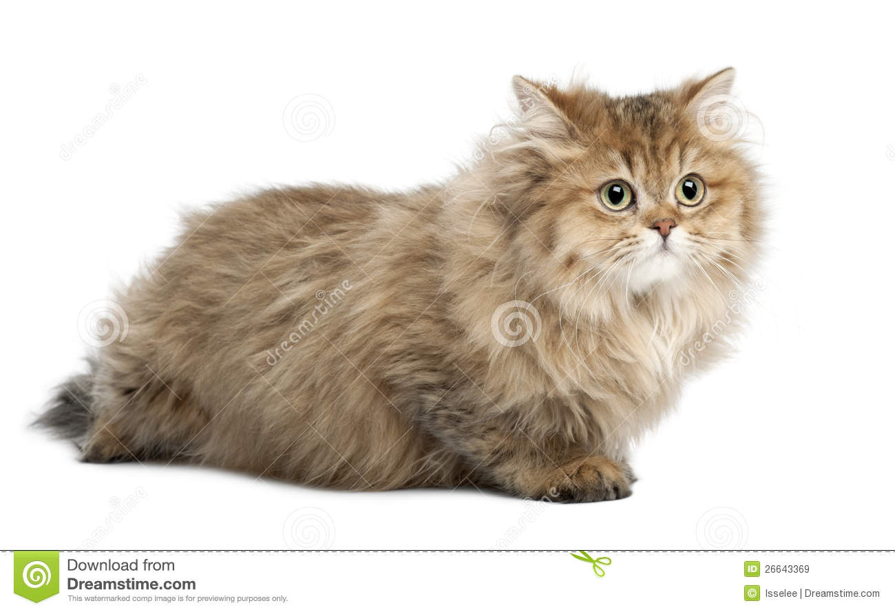 British Longhair Cat, 4 Months Old, Lying Royalty Free Stock Images ...