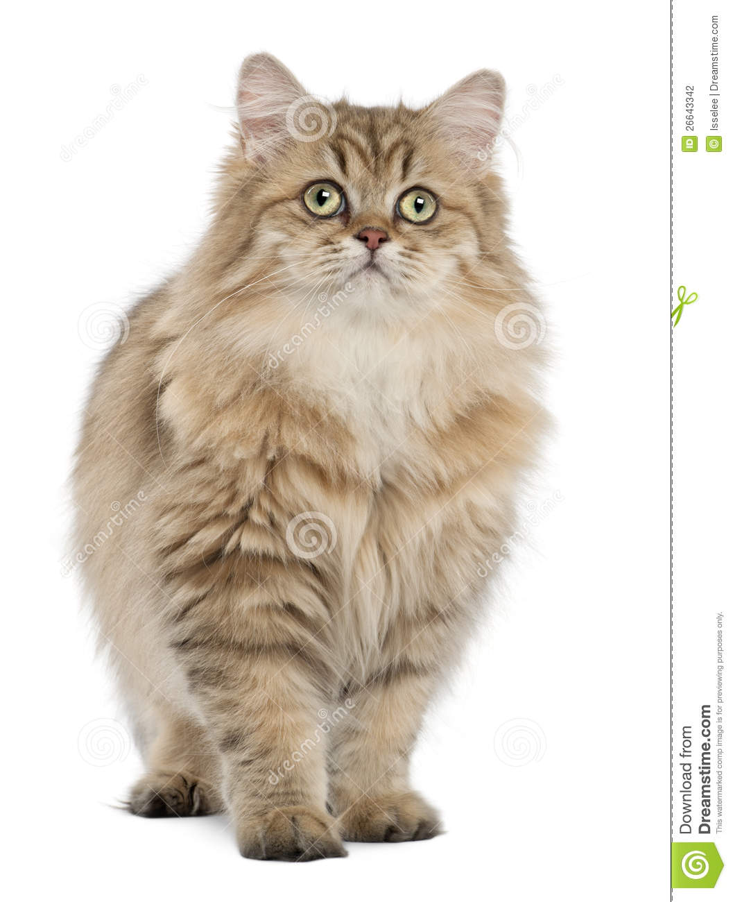 British Longhair Cat, 4 Months Old, Standing Stock Photography - Image ...