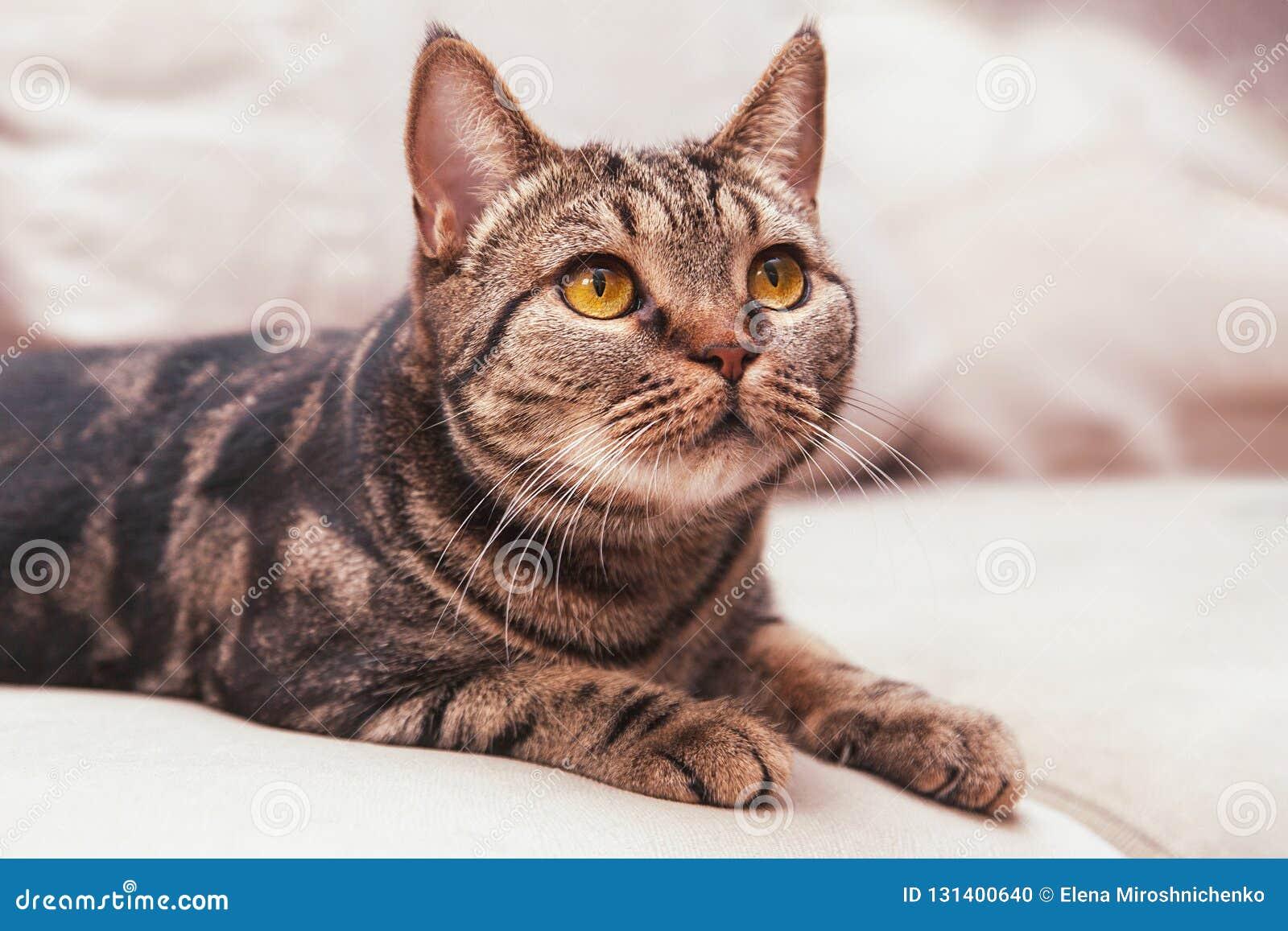 British Short hair cat breed with honey eyes