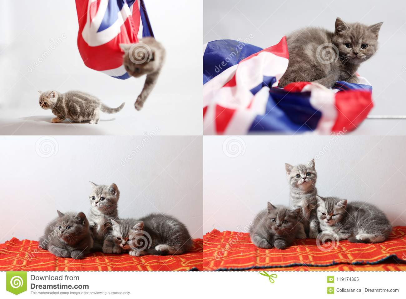 Baby kittens playing with a Great Britain flag, multicam