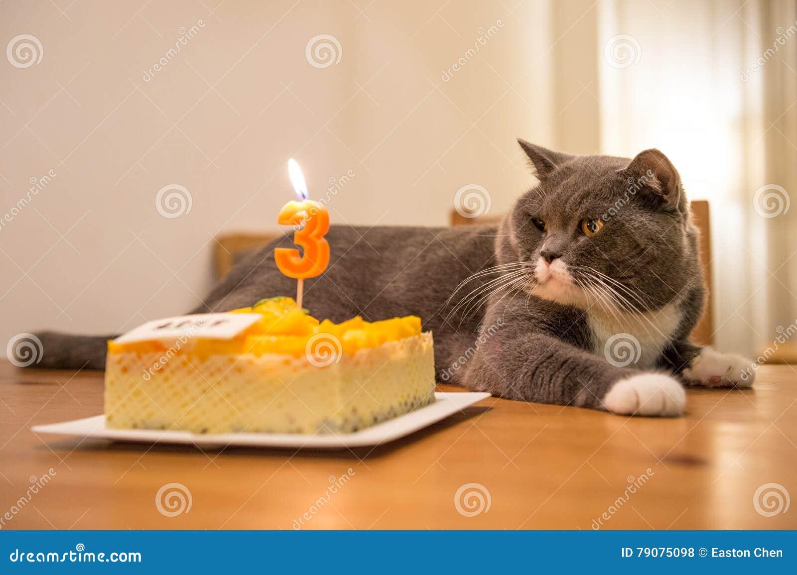 The British Shorthair And Birthday Cake Stock Photo Image Of