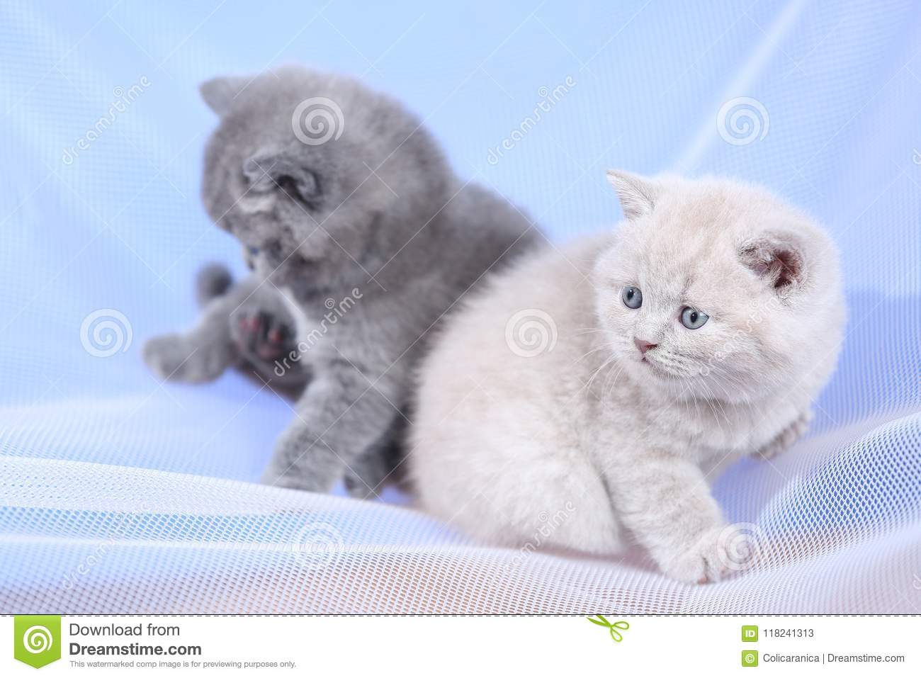 British Shorthair Blue And Lilac Kittens On A White Net Portrait Stock Image Image Of Cute Light 118241313