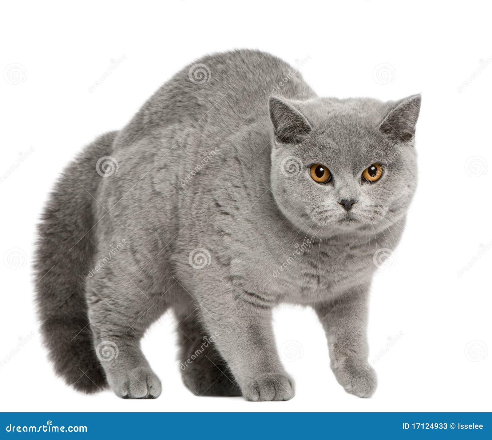 British Shorthair Cat, 8 months old, walking