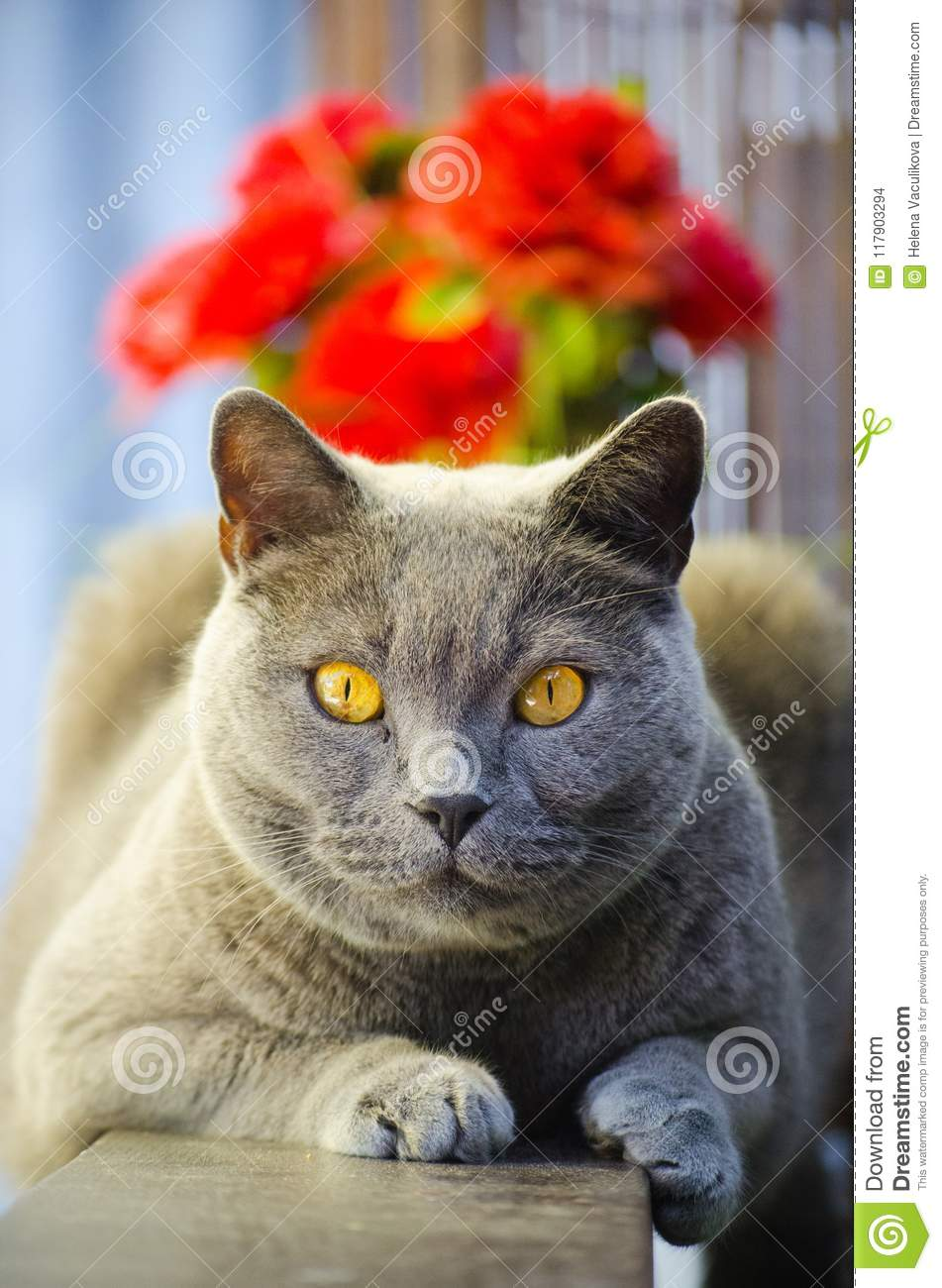 Download British Shorthair Cat stock photo. Image of body, breeds - 117903294