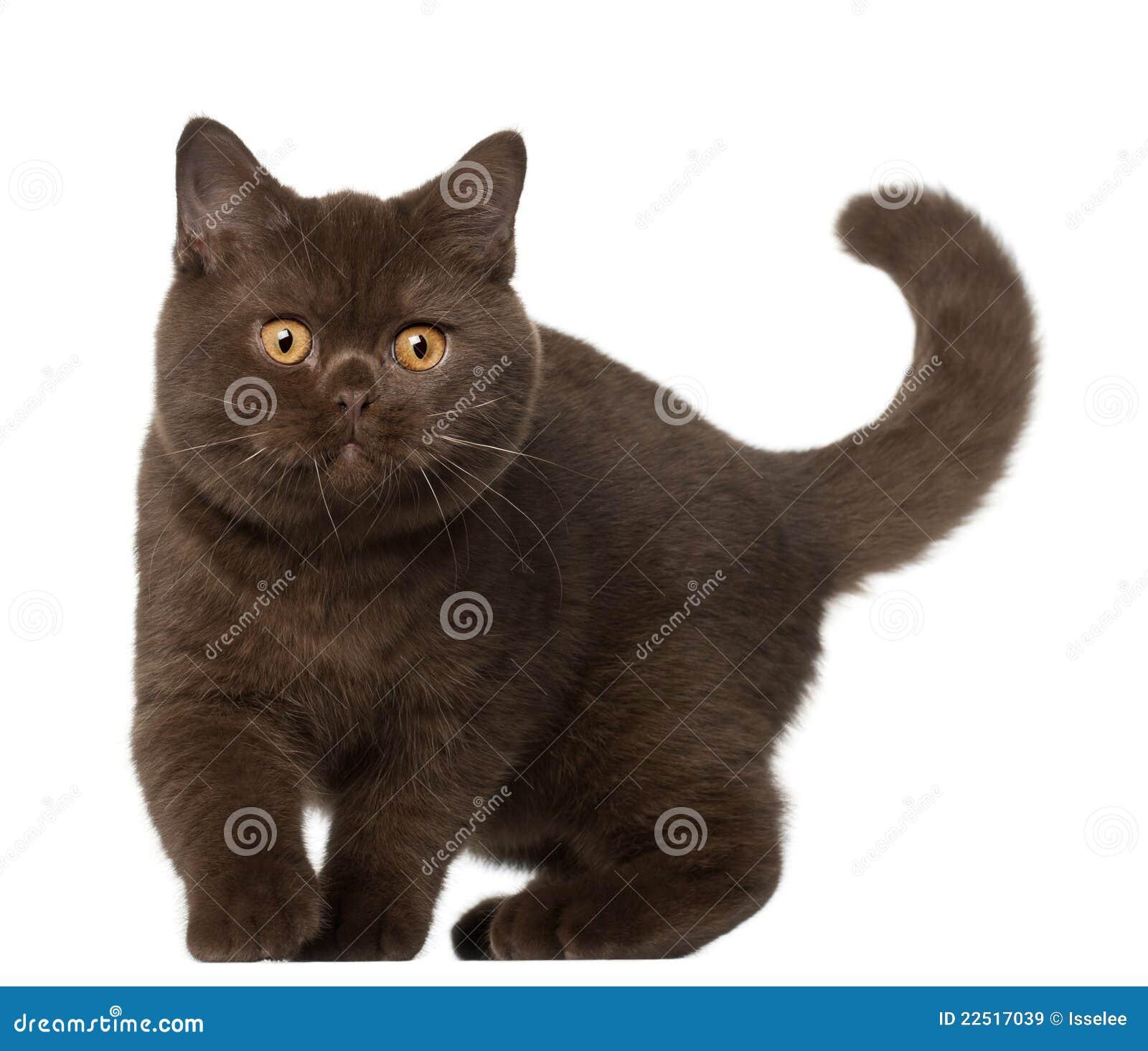 British Shorthair Cat Kitten 4 Months Old Stock Image Image