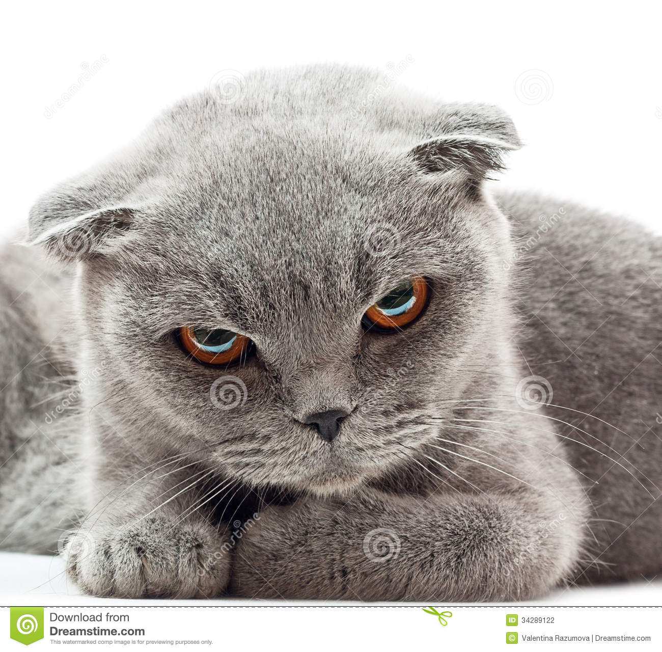 British Shorthair Cat Stock graphy Image