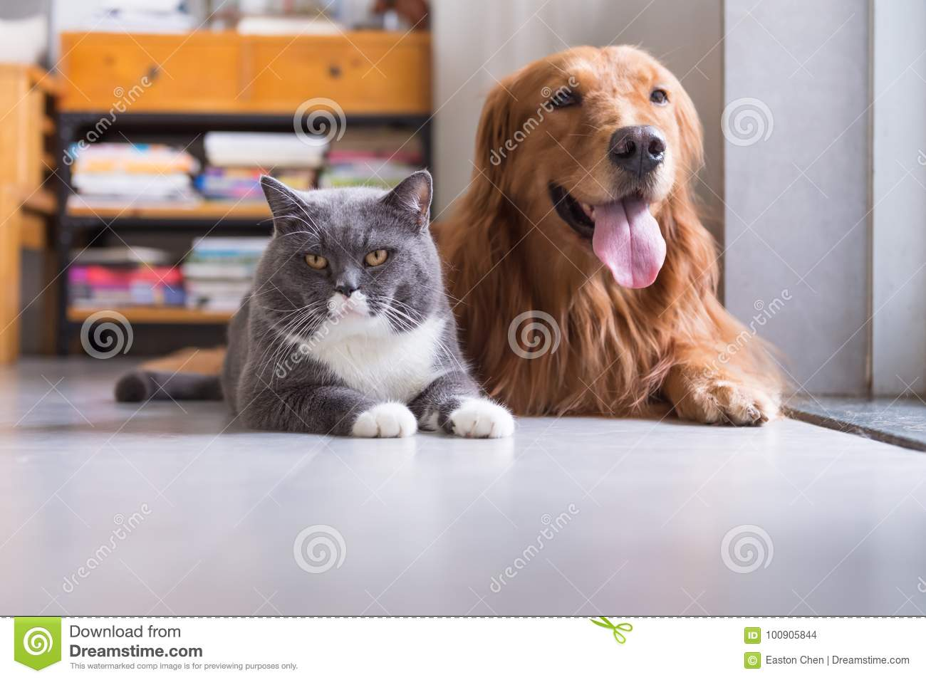 British Shorthair Cats And Golden Retriever Stock Photo - Image of