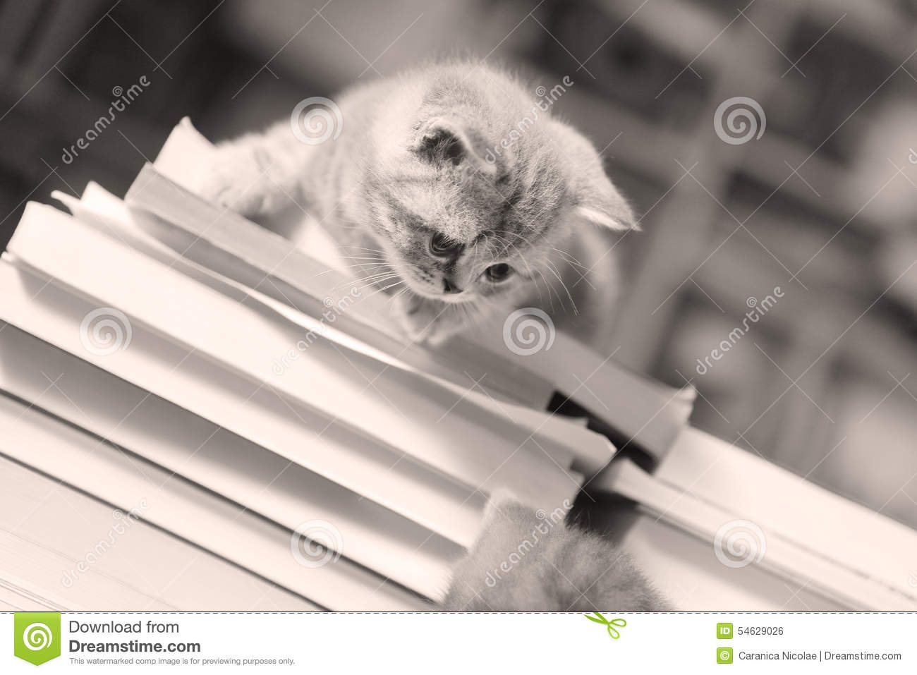 British Shorthair kitten and books