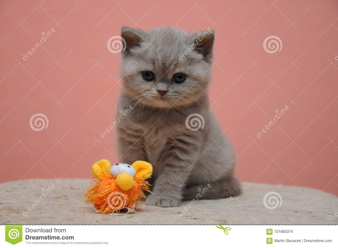 British Shorthair Kitten With Orange Background Adorable And Cute