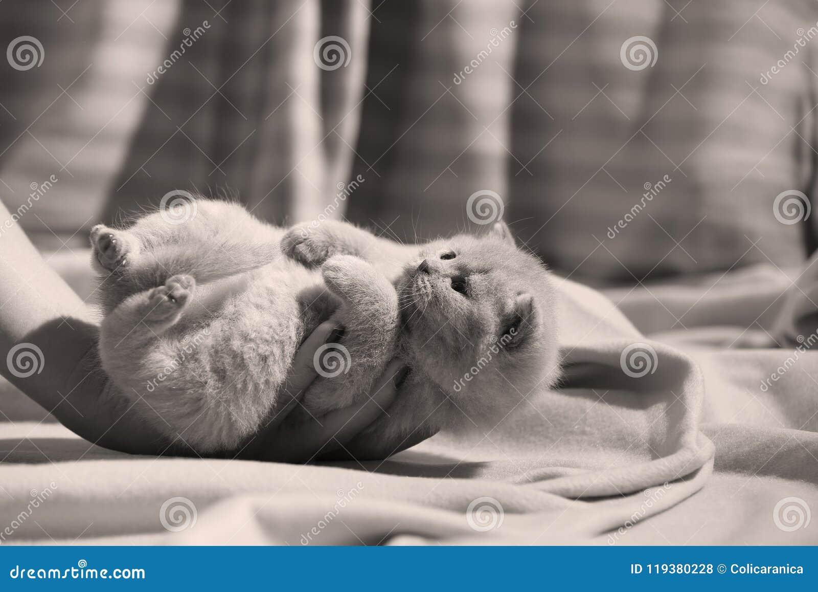British Shorthair Kitten Sitting, Portrait, Paws Up