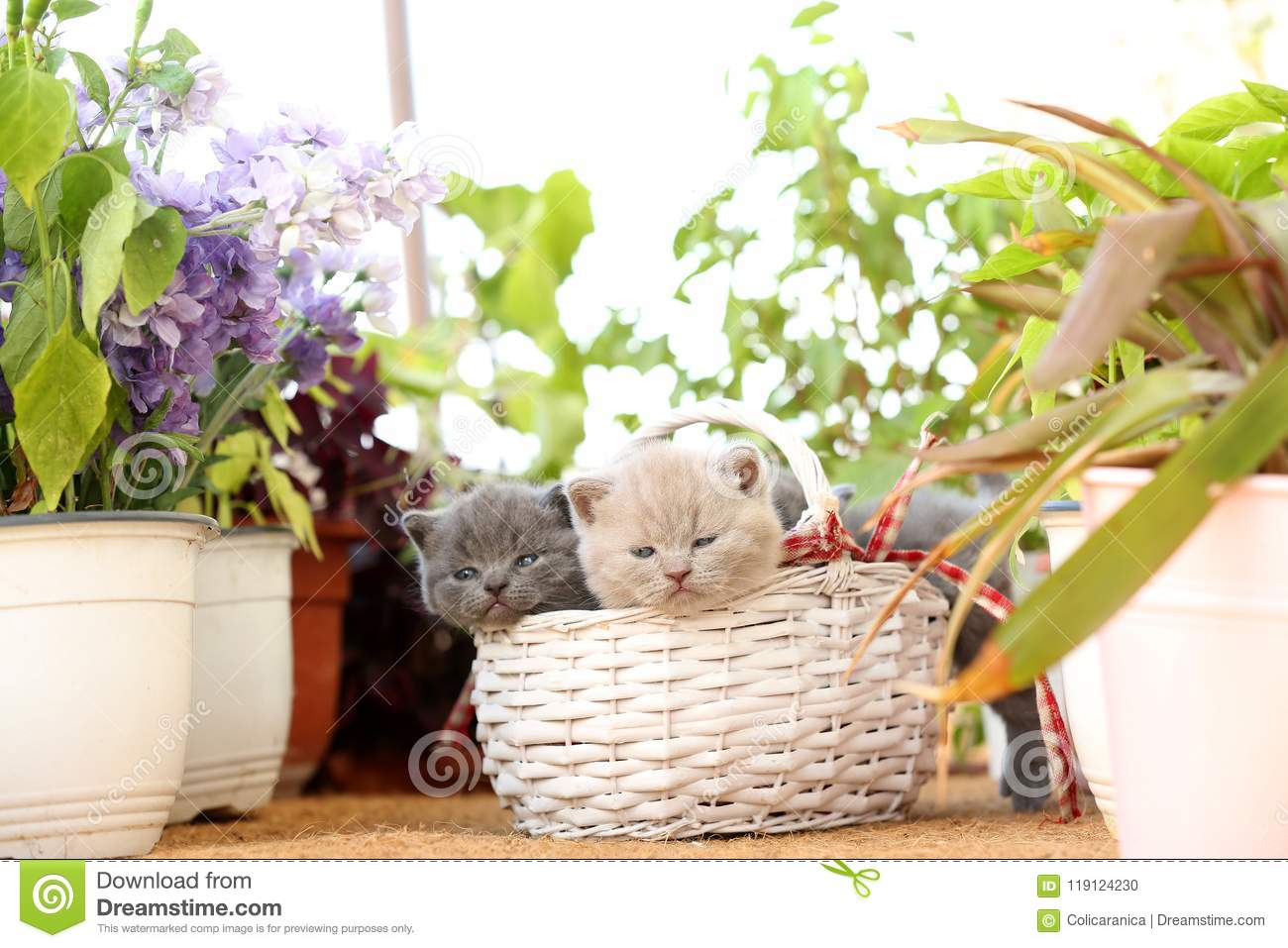 apartment balcony plants British Shorthair Kittens In Basket On Balcony Plants Stock