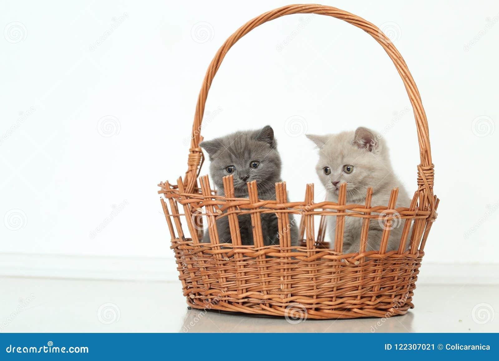British Shorthair kittens in basket, isolated portrait