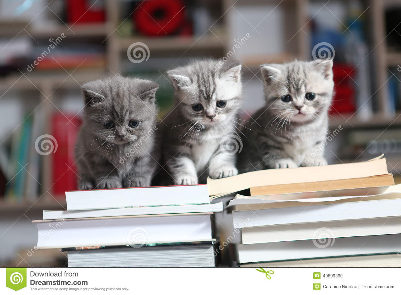 British Shorthair kittens and books