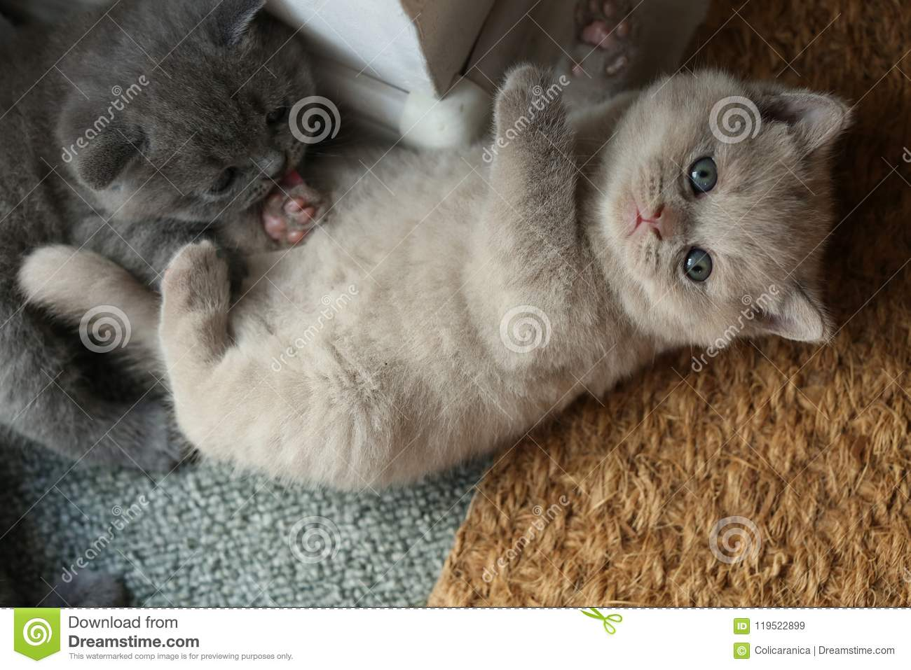 British Shorthair Kittens Lying On The Doormat Stock Image Image Of Face Carpet 119522899
