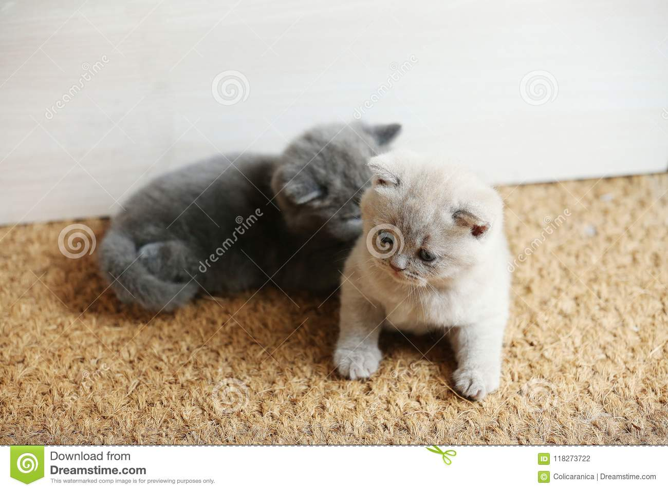 British Shorthair Kittens Sitting On The Doormat Stock Photo Image Of Cats Lying 118273722