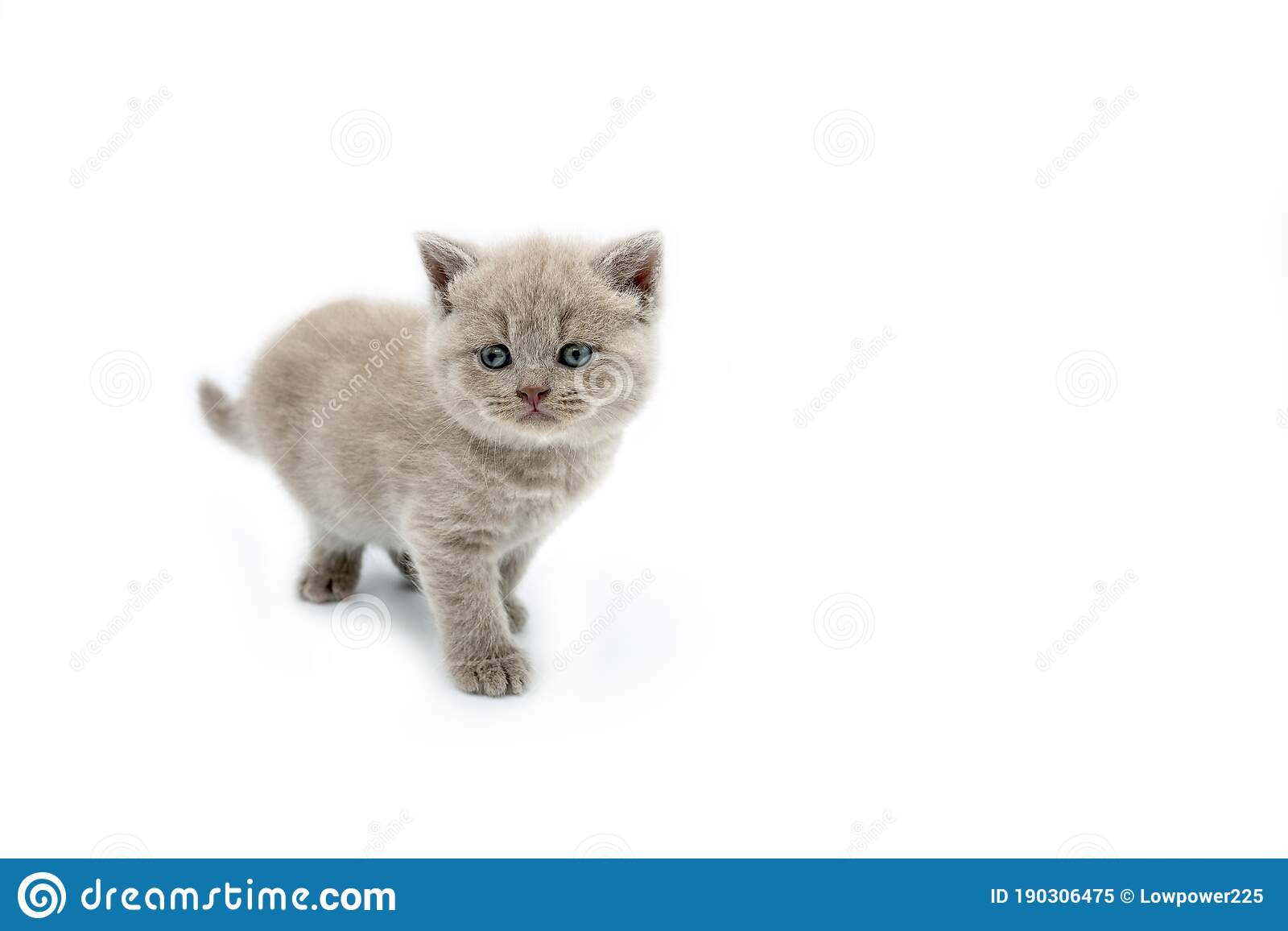 British Shorthair Lilac Cat Cute And Beautiful Kitten Standing And Looking Straight On A White Background Stock Image Image Of Animal Gray 190306475
