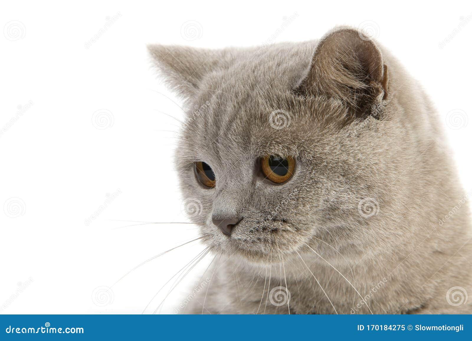 British Shorthair Lilac Stock Image Image Of Felidae 170184275