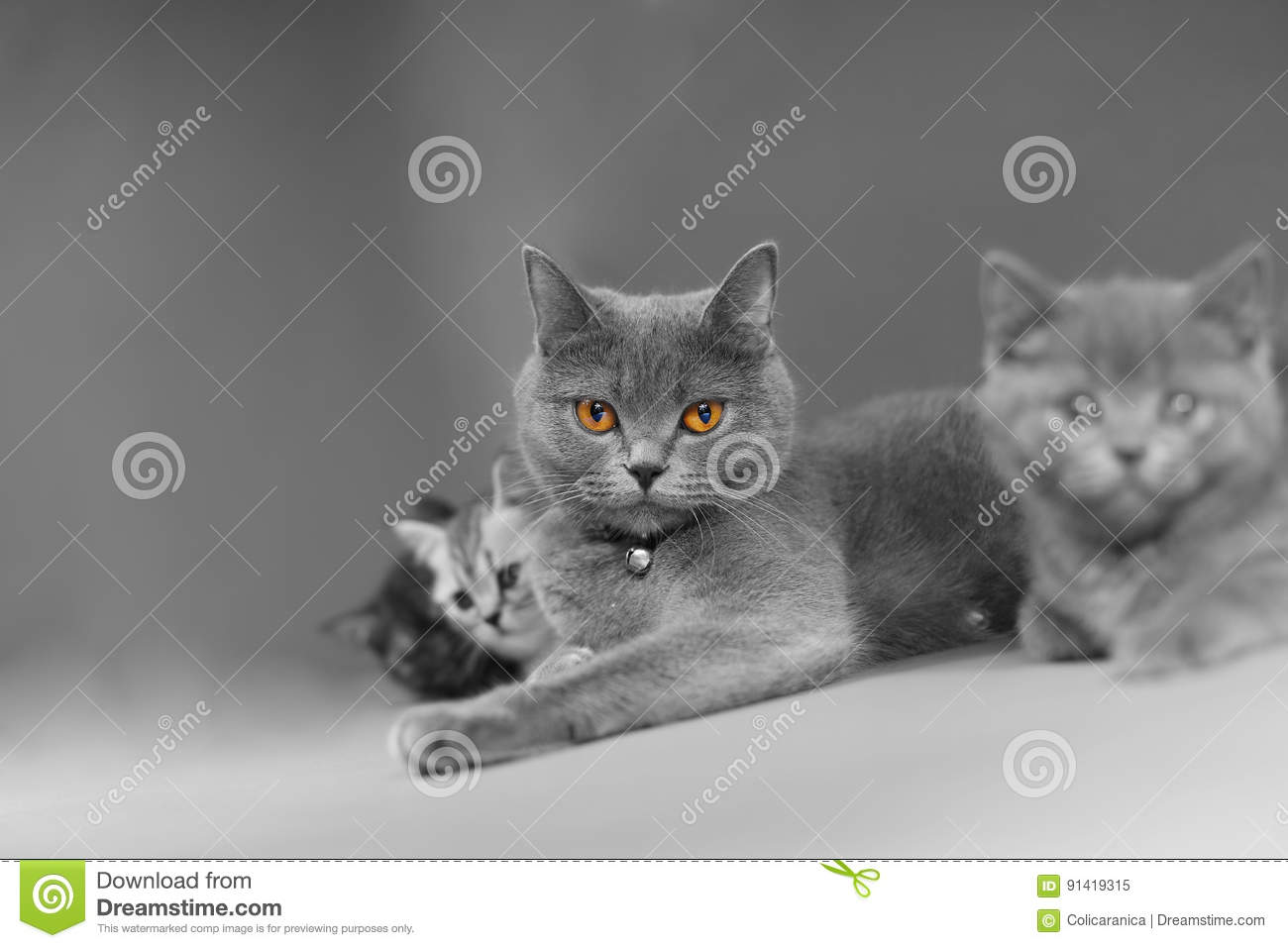British Shorthair mother with her baby