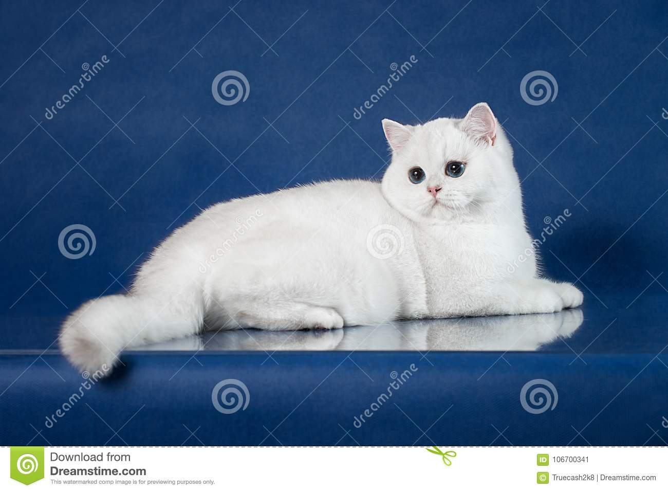 British White Shorthair Young Cat With Magic Blue Eyes Britain