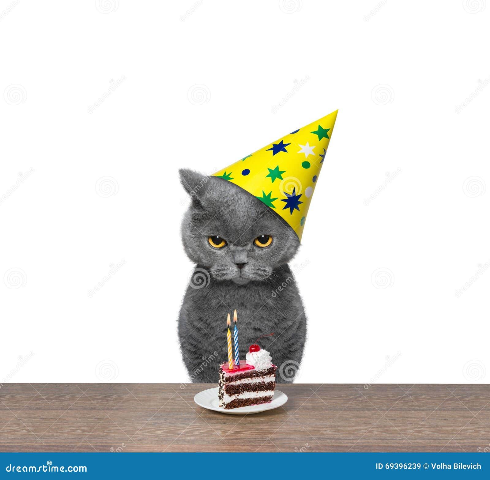 Britse Kat Het Vieren Verjaardag Met Stuk Van Cake Stock Afbeelding