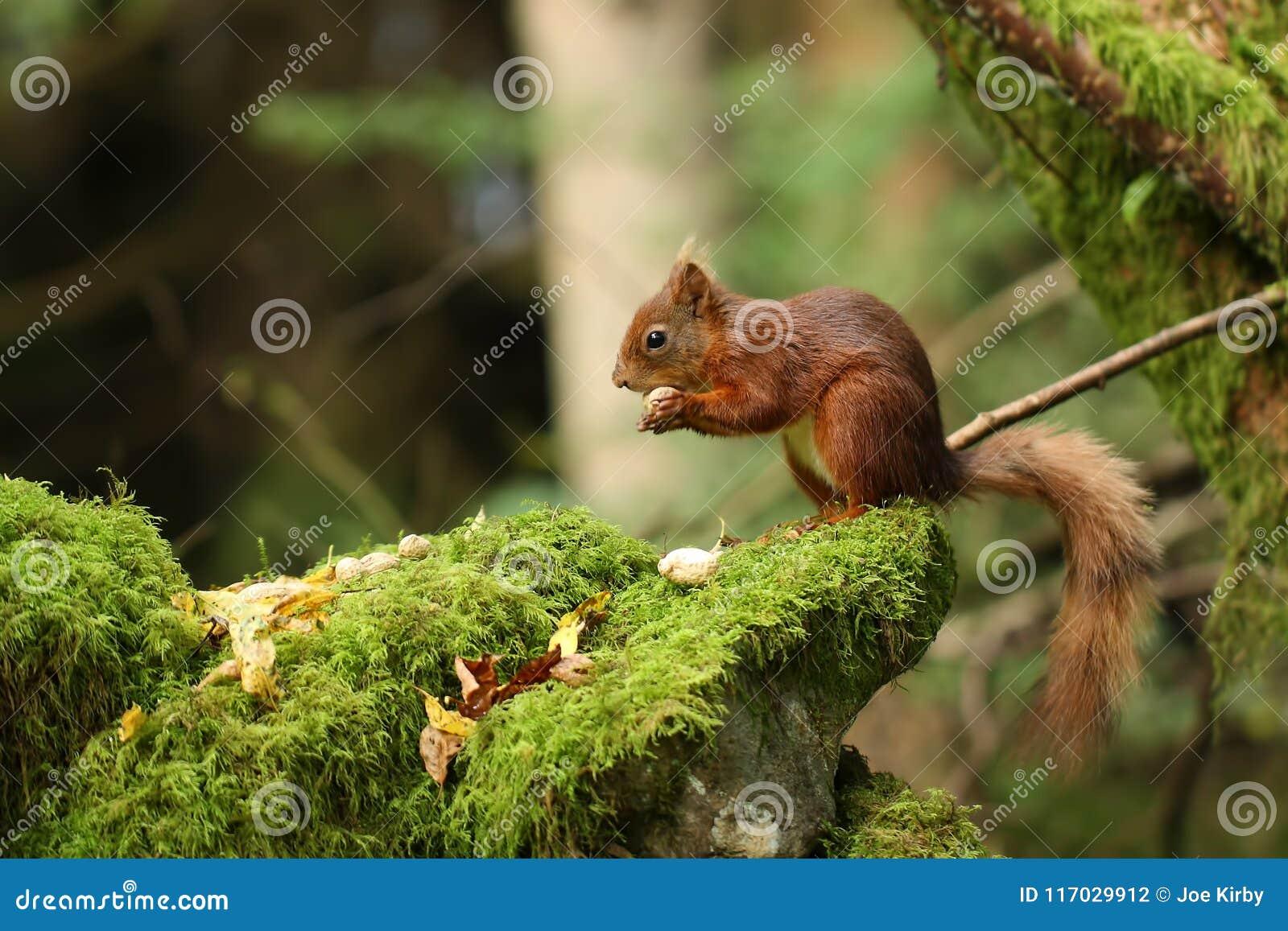 Britse Rode Eekhoorn