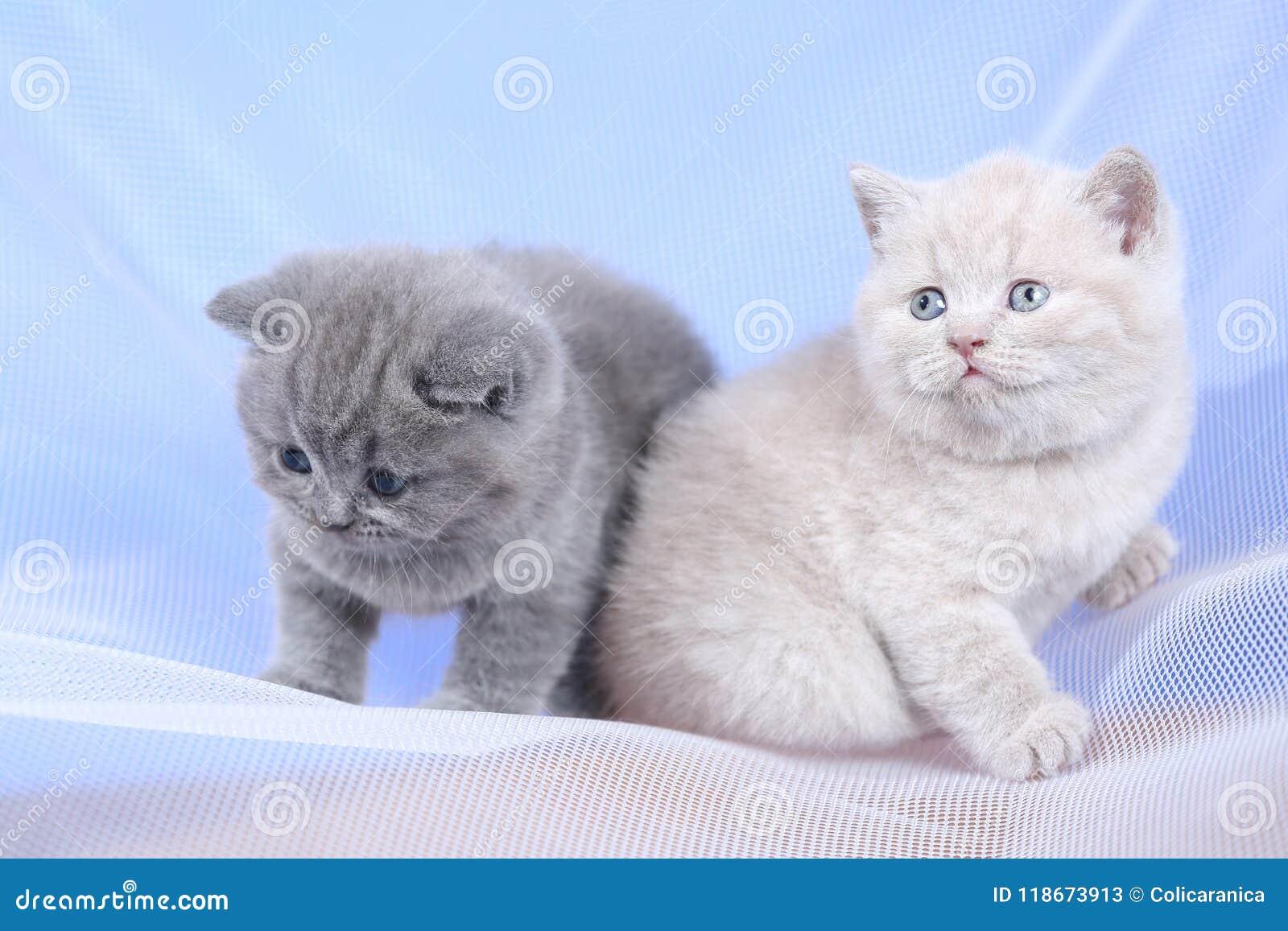 Britse Shorthair-katjes op witte netto, portret