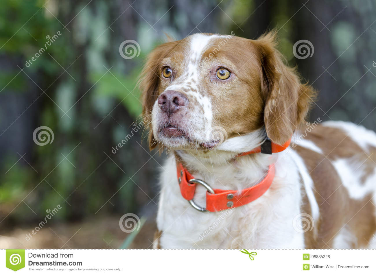 Brittany Spaniel hunting dog with safety orange tracking collar