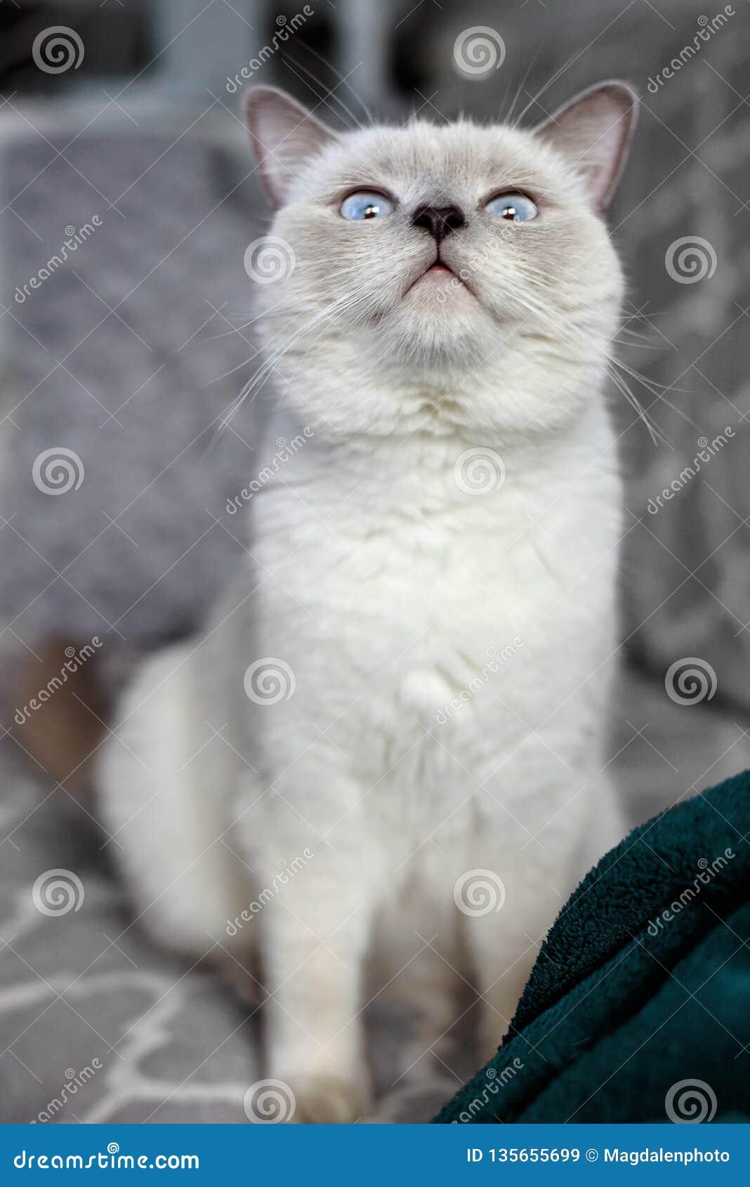 Brittisk kattshorthair