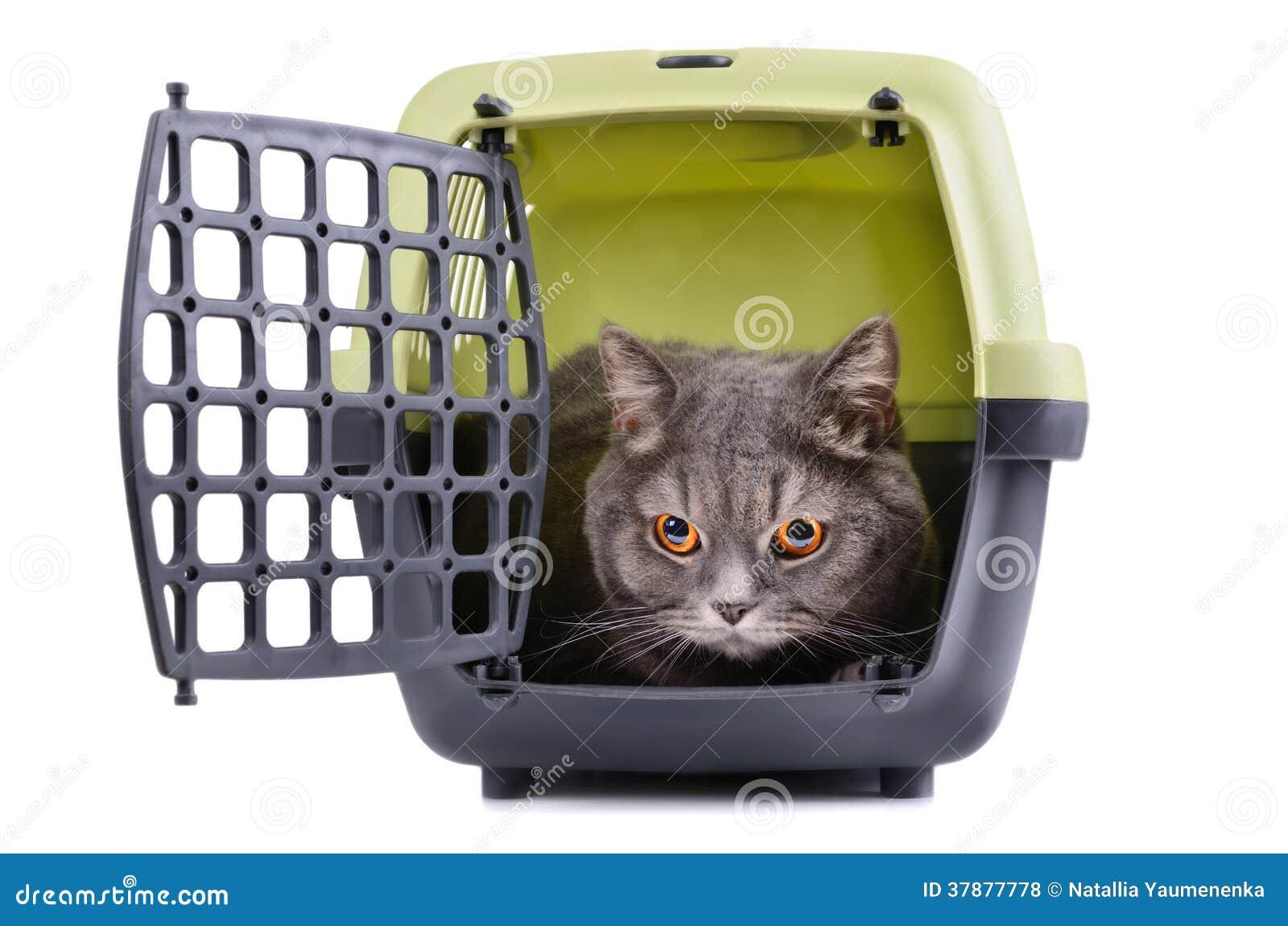 Brittisk Shorthair katt