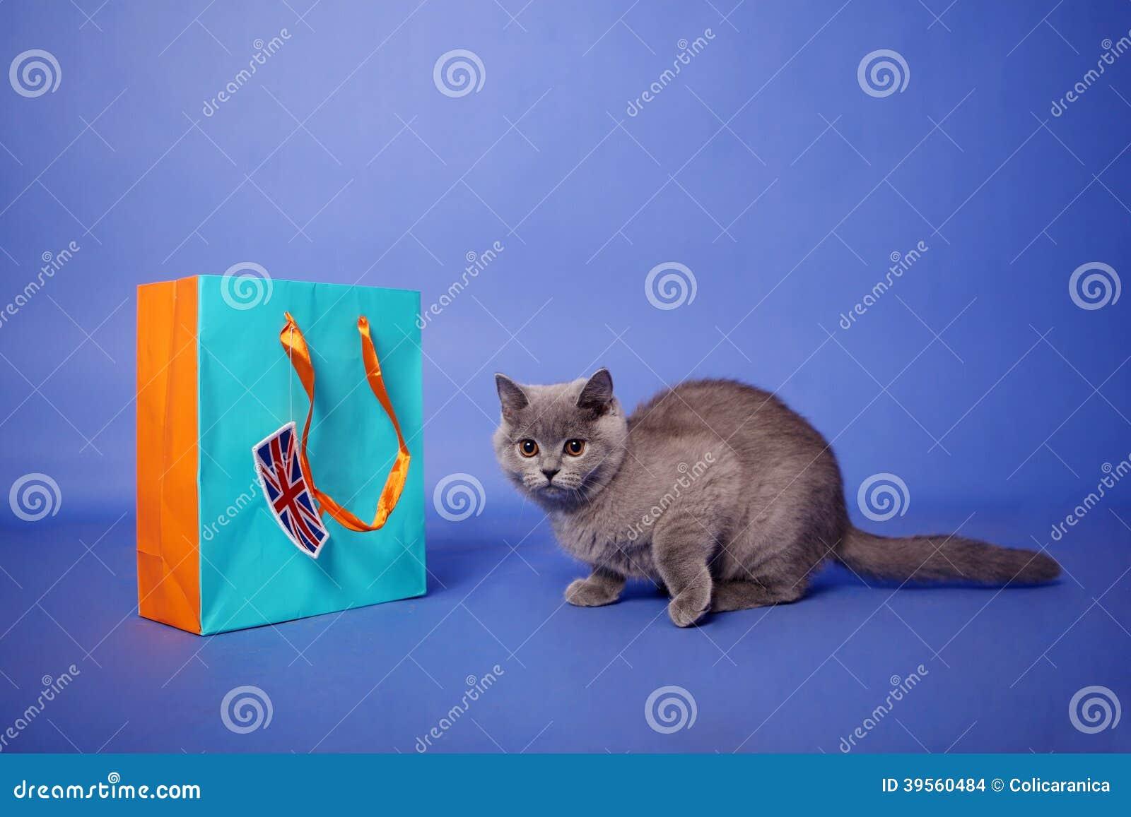 Brittisk Shorthair kattunge