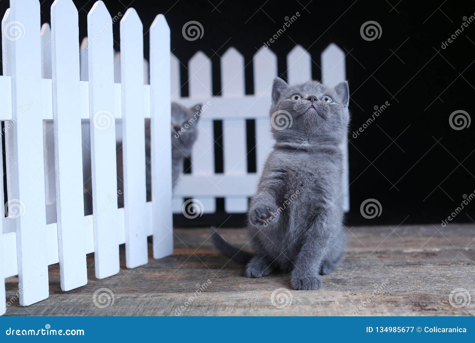 Brittisk Shorthair kattunge, isolerad st?ende n?ra ett vitt tr?staket
