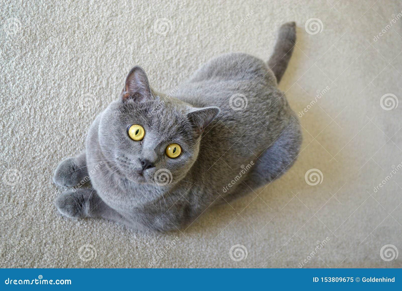 Brittisk shorthairkatt med blå grå päls