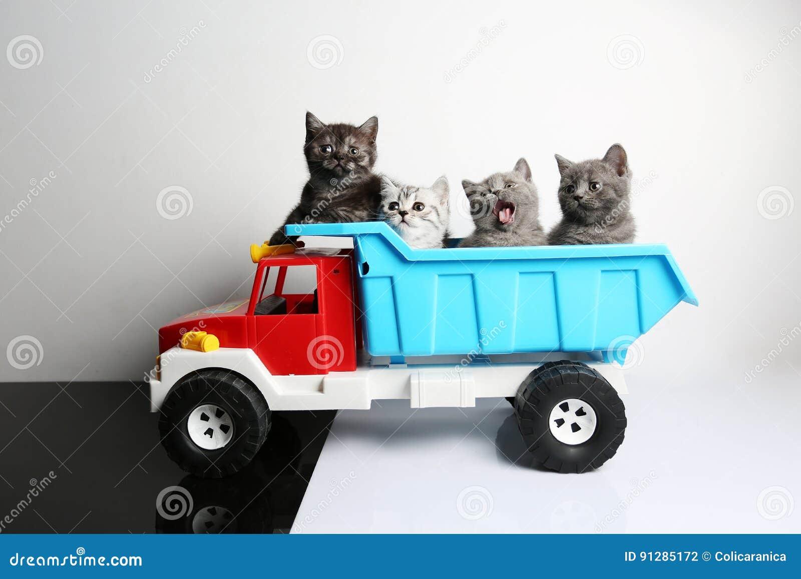Brittiska Shorthair kattungar i en lastbil