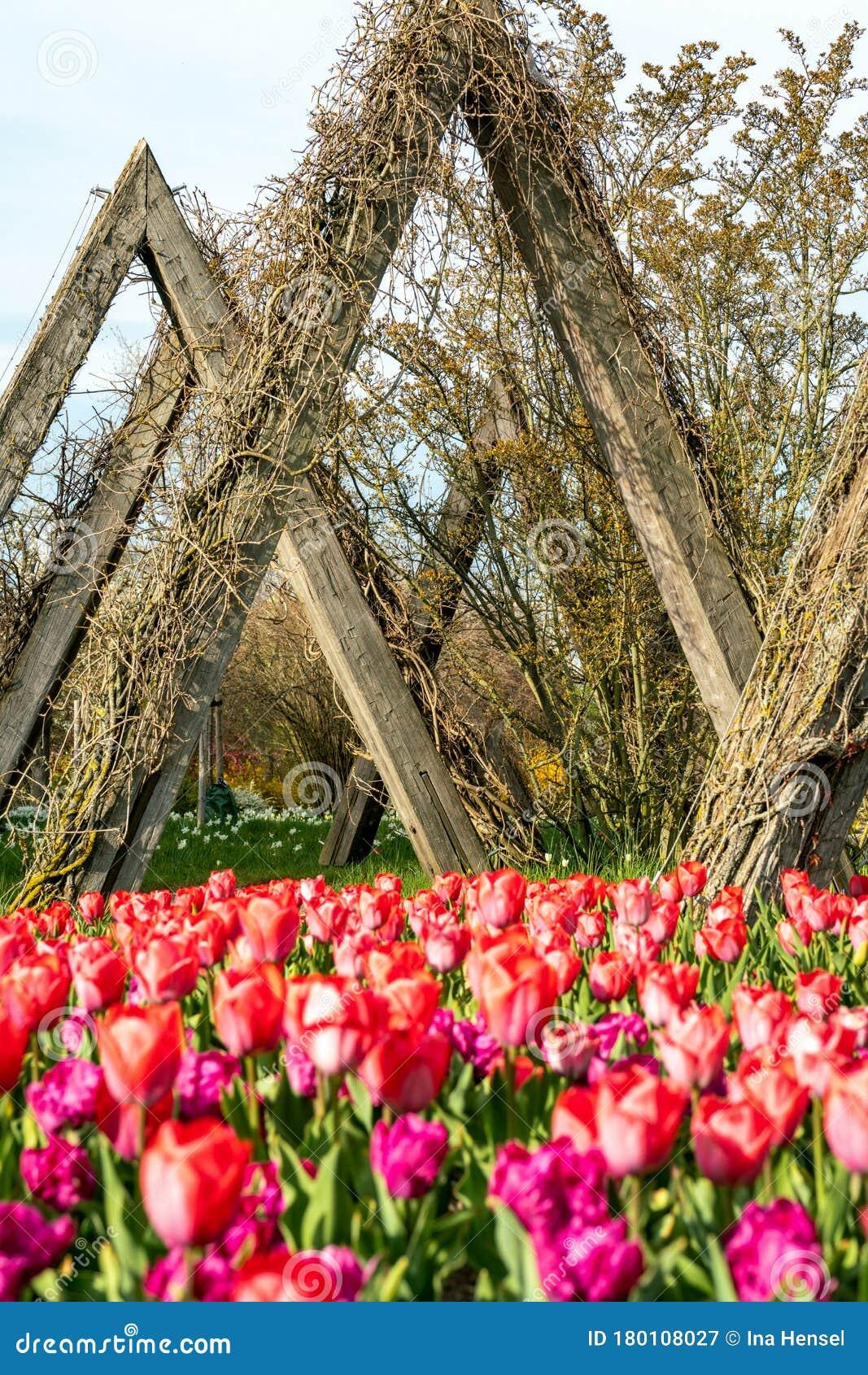 Garten 2021 britzer tulipan Tulipan im